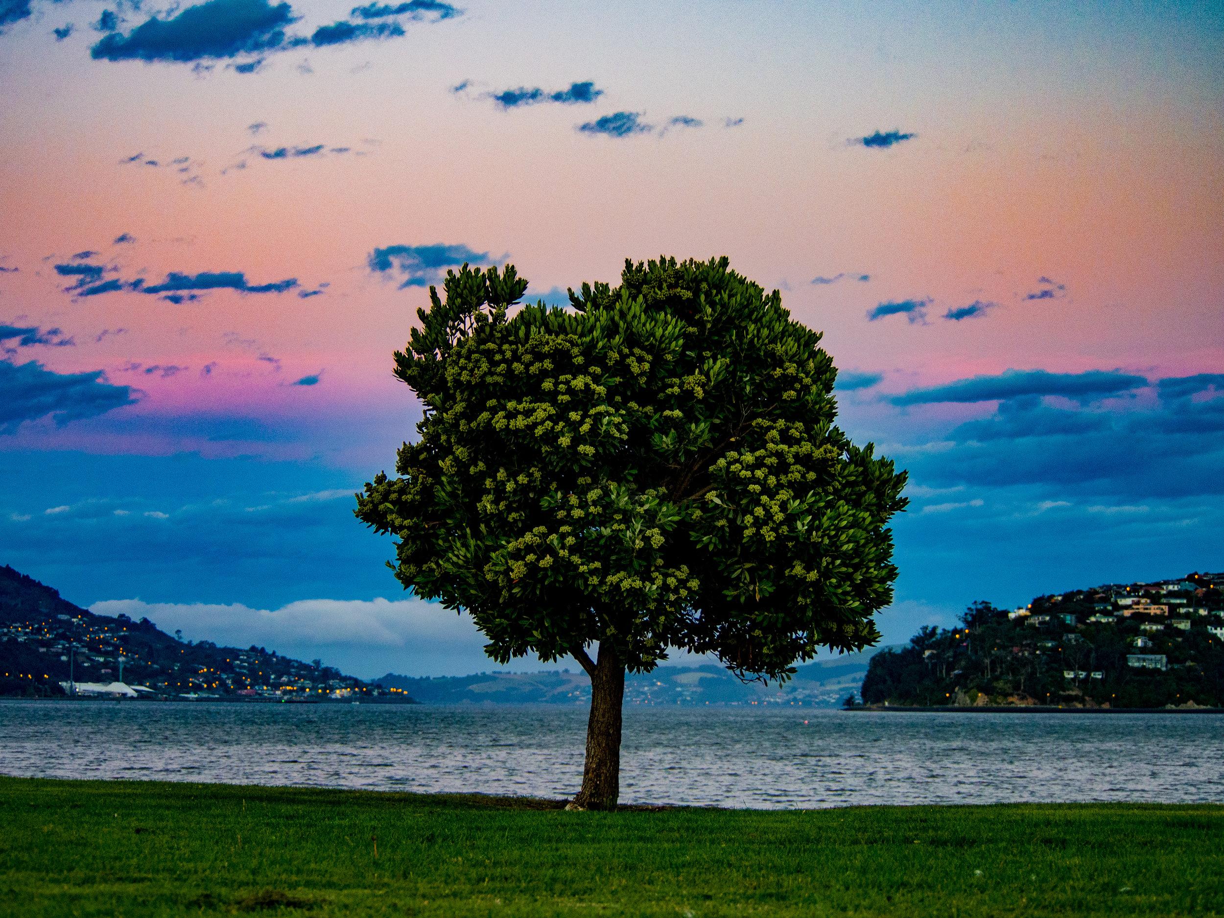 Dunedin harbour tree at sunset