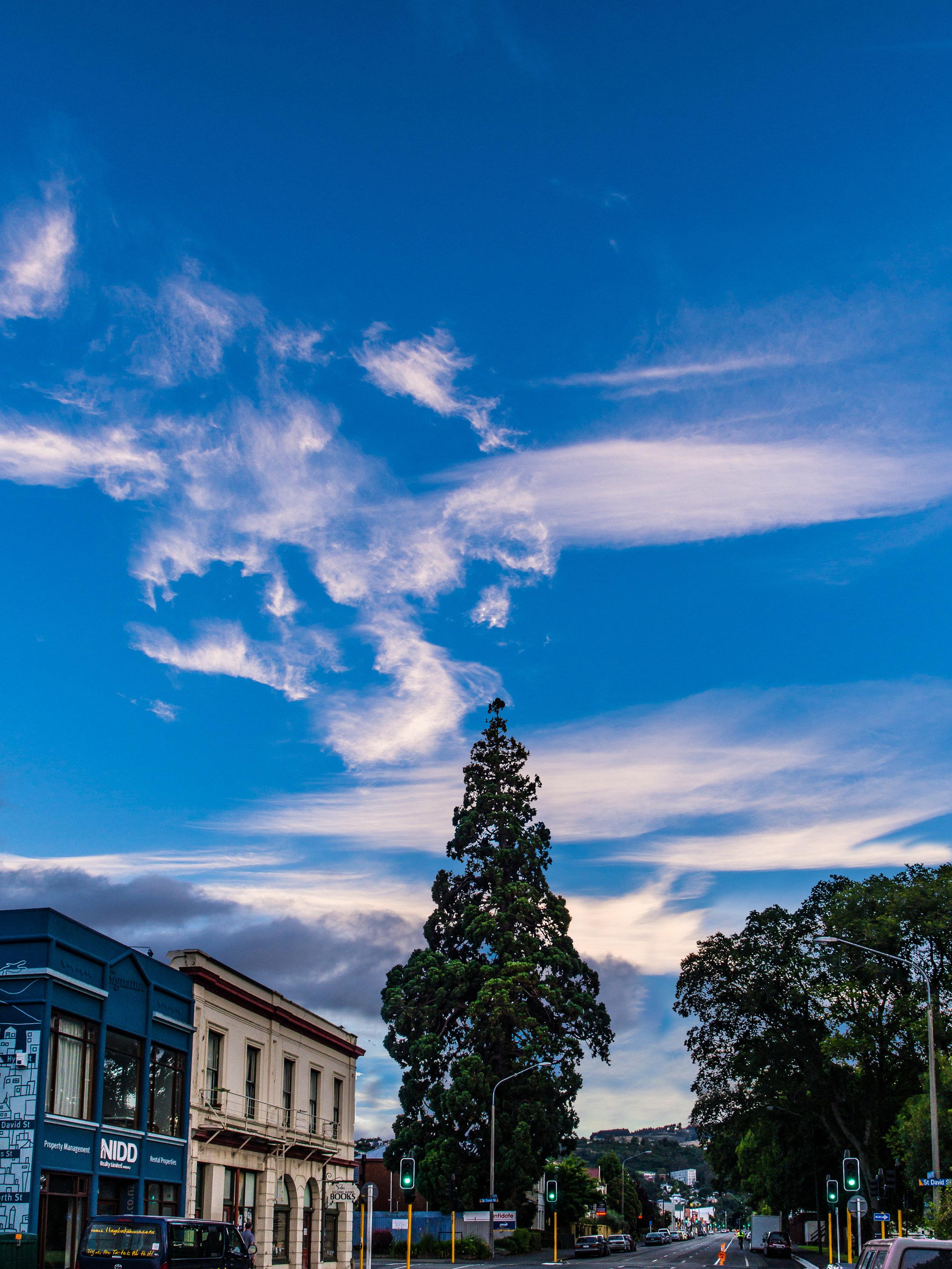 Dunedin urban tree
