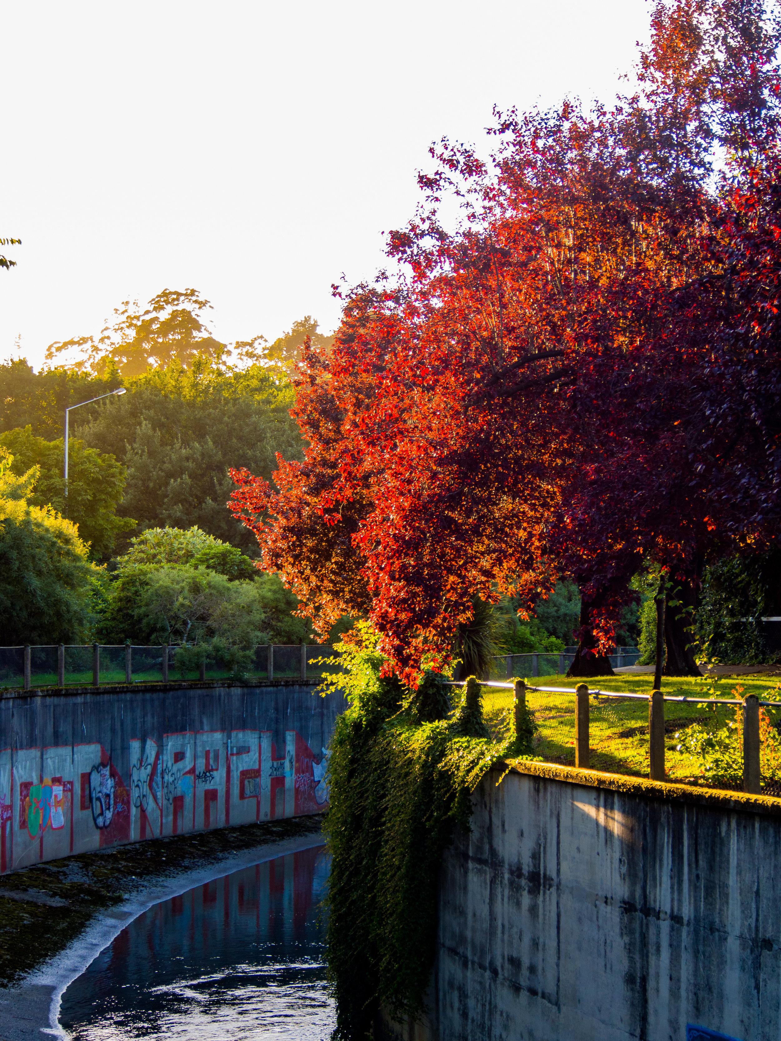 Dunedin urban red tree