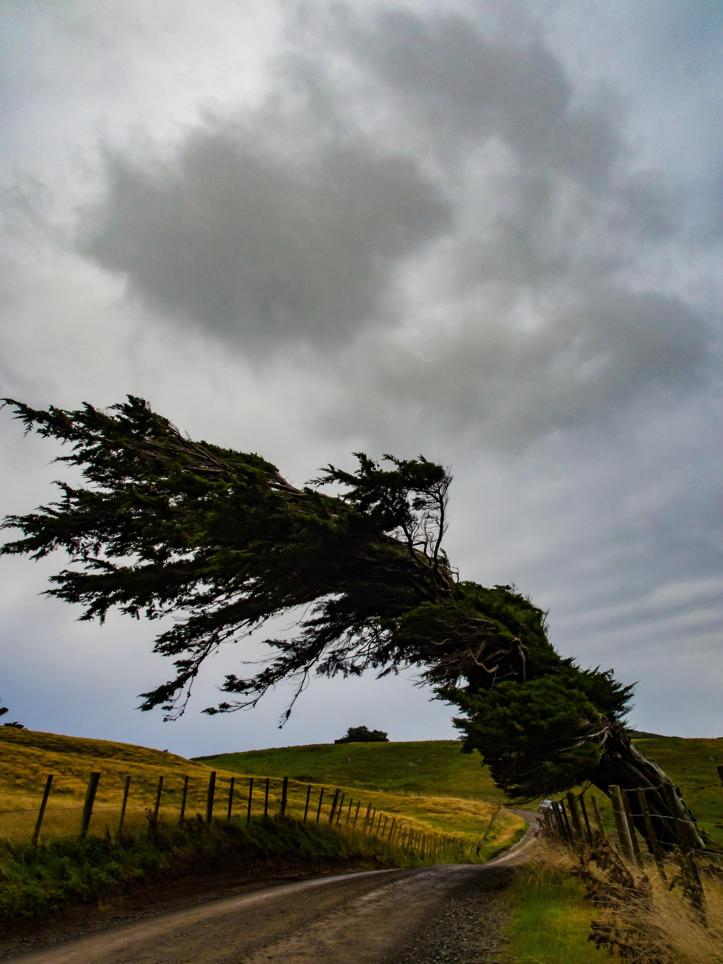 Dunedin hill top rugged tree