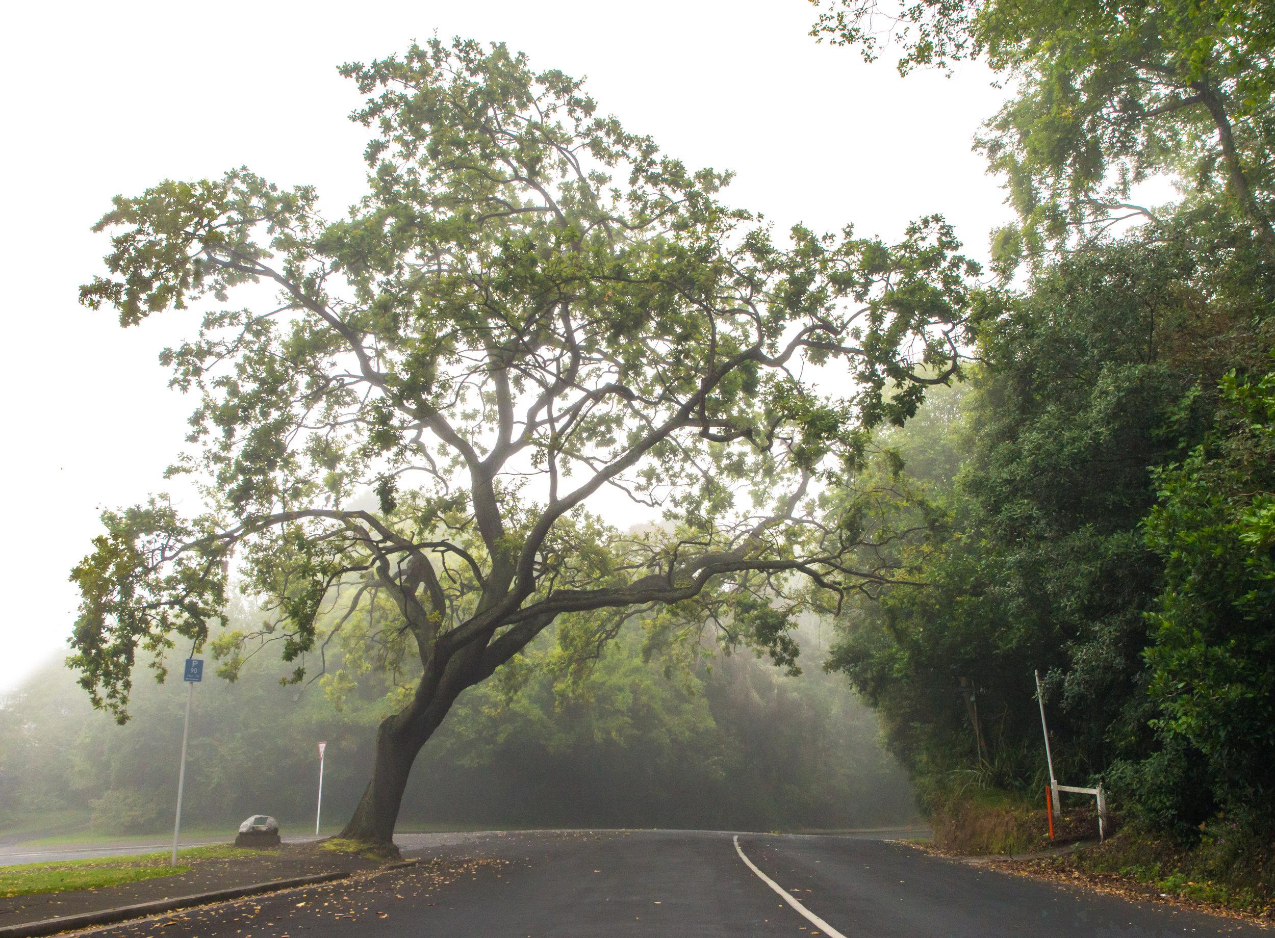 Dunedin tree in the fog