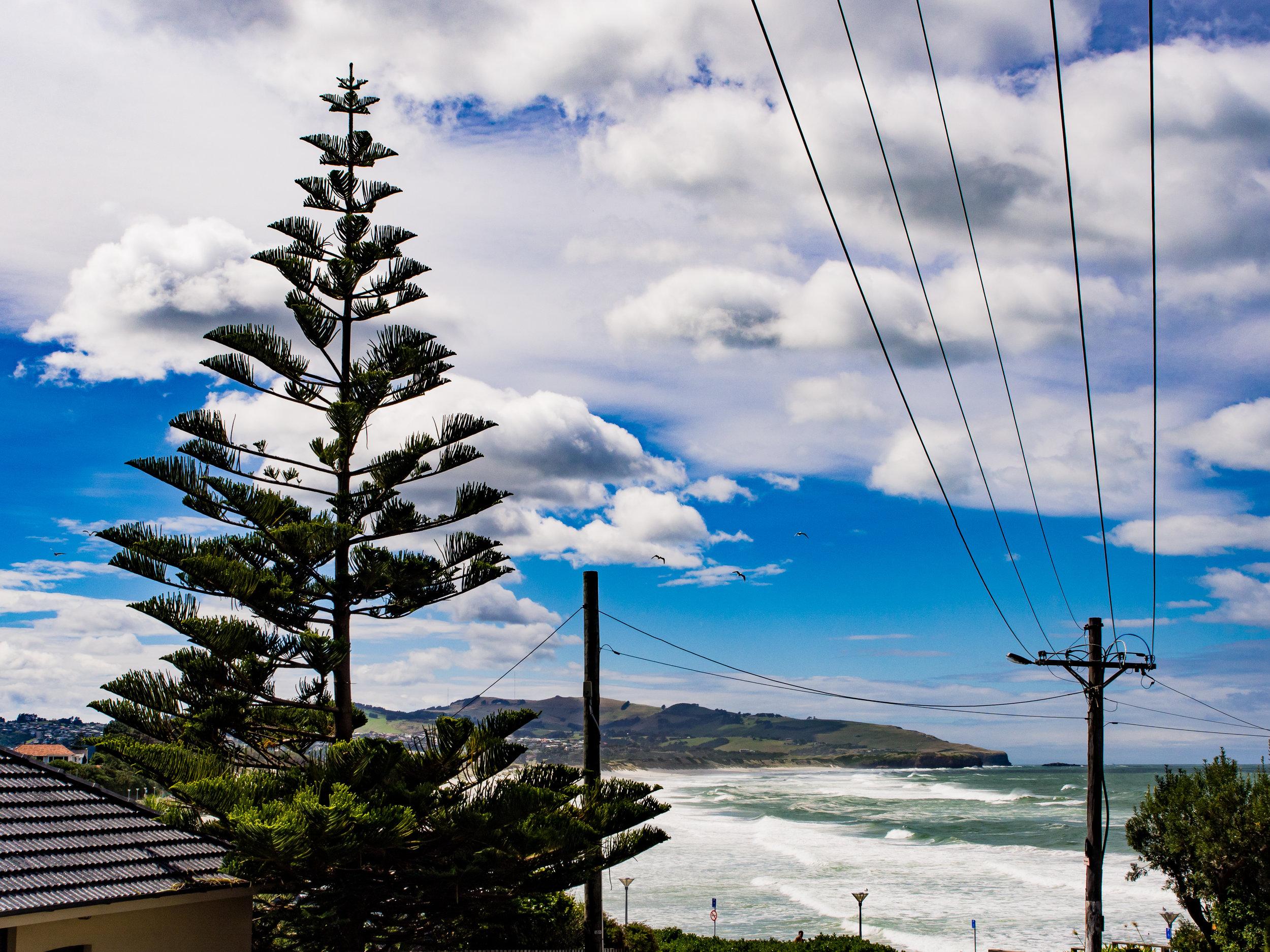 Norfolk pine St Clair Dunedin