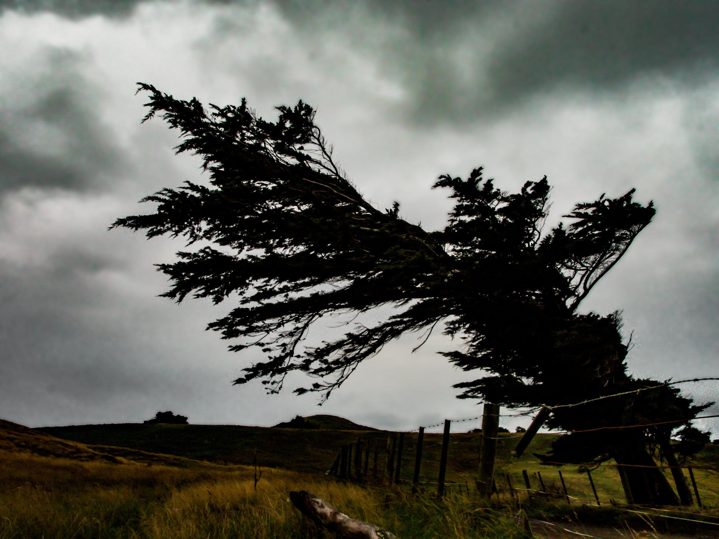 Dunedin macrocarpa tree rugged