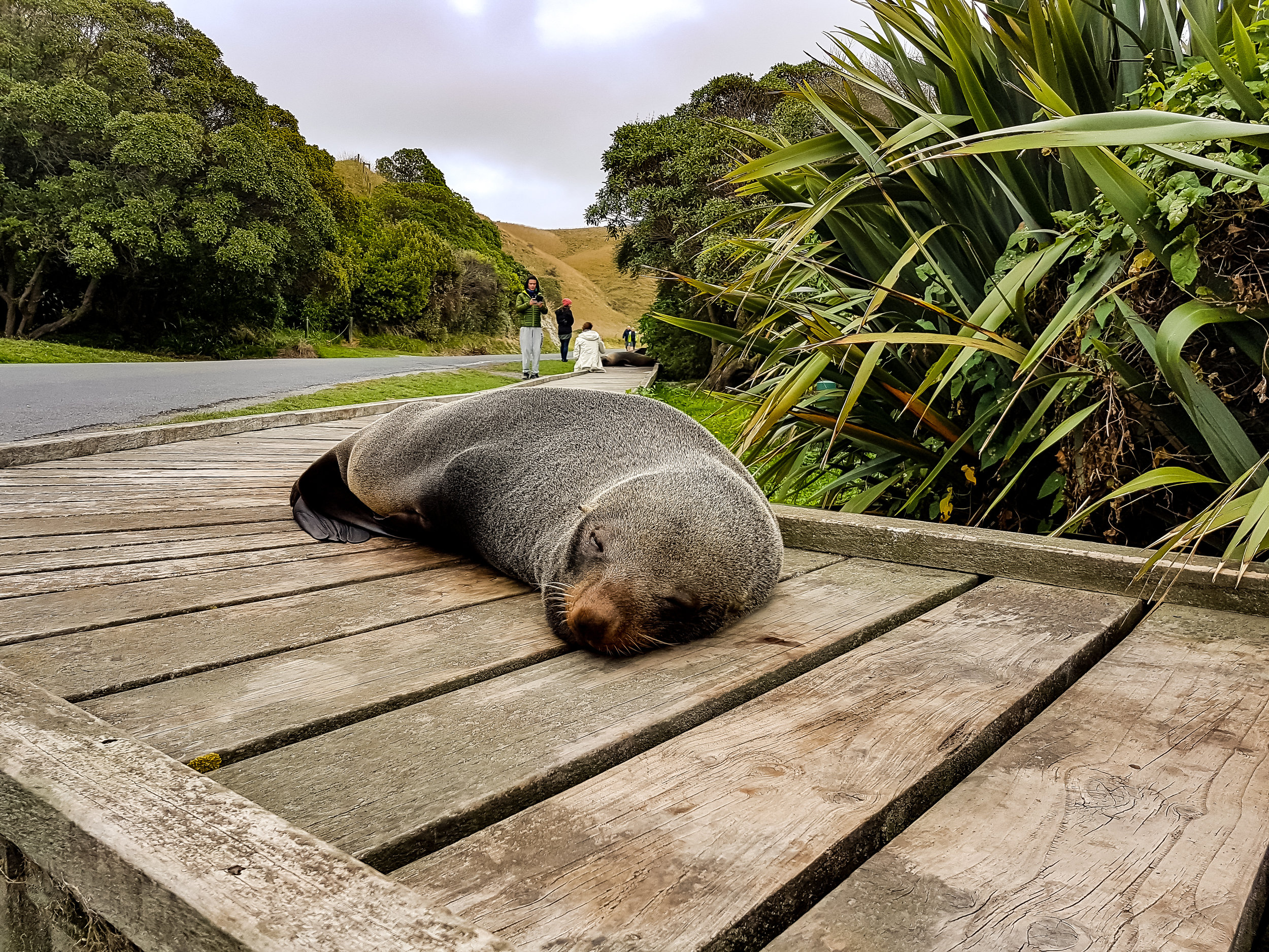 Signing off with this sleepy seal on the boardwalk in Kaikoura just doing his thing...... -