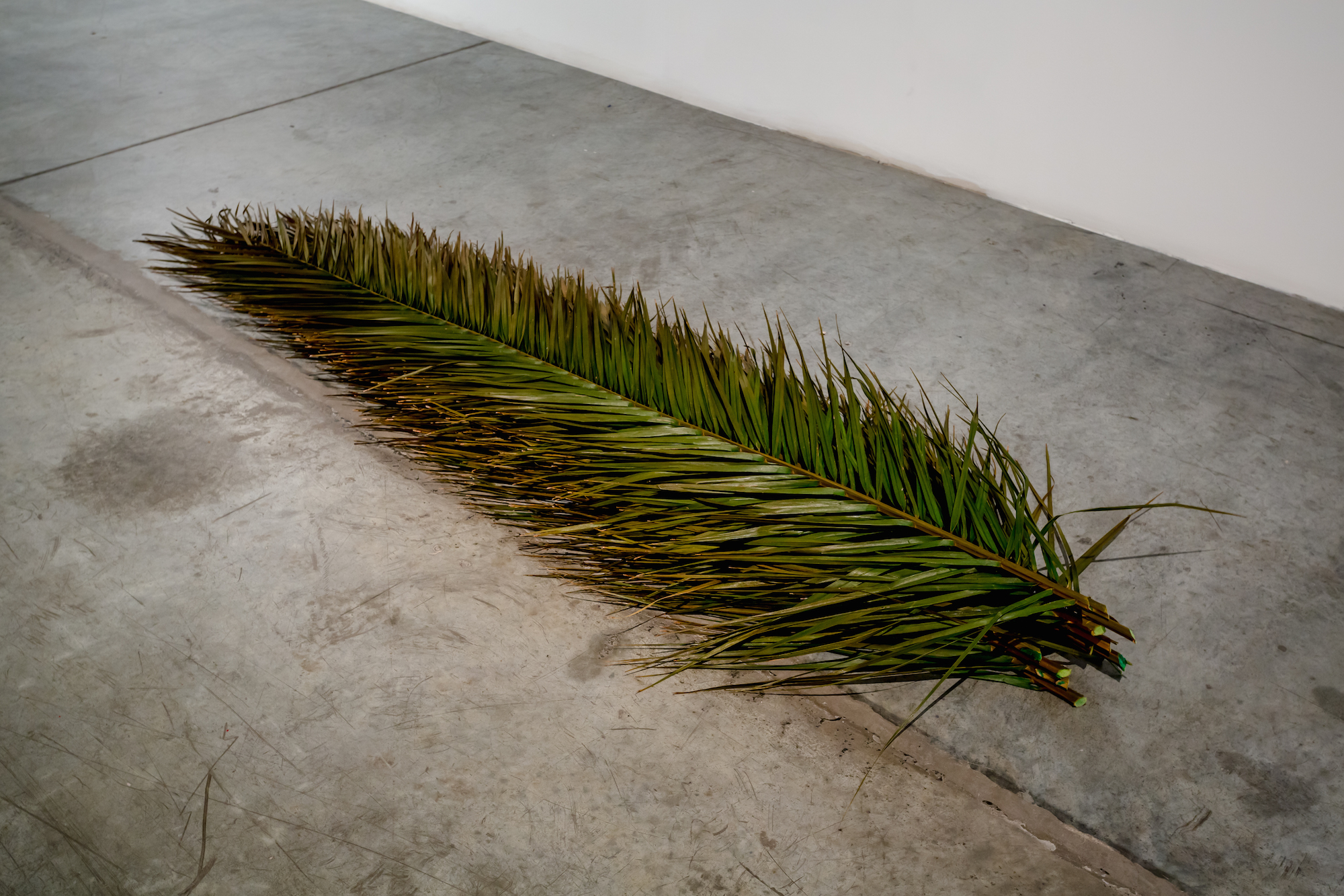 Palm leaves 2016 Twelve preserved palm leaves Dimensions variable