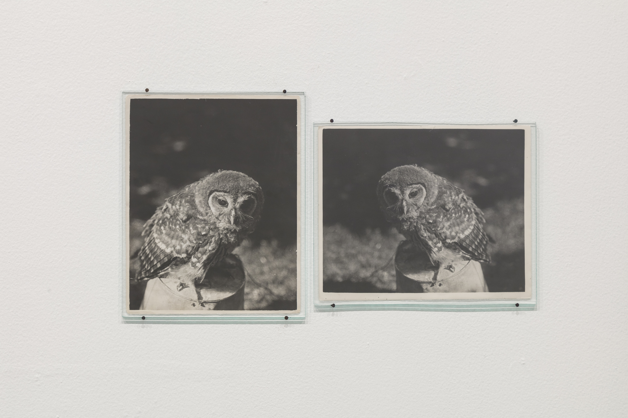 Daniel Gustav Cramer  Owl (1932 / 1938) 2017 2 found photographs, glass plates, nails 34 x 58 cm