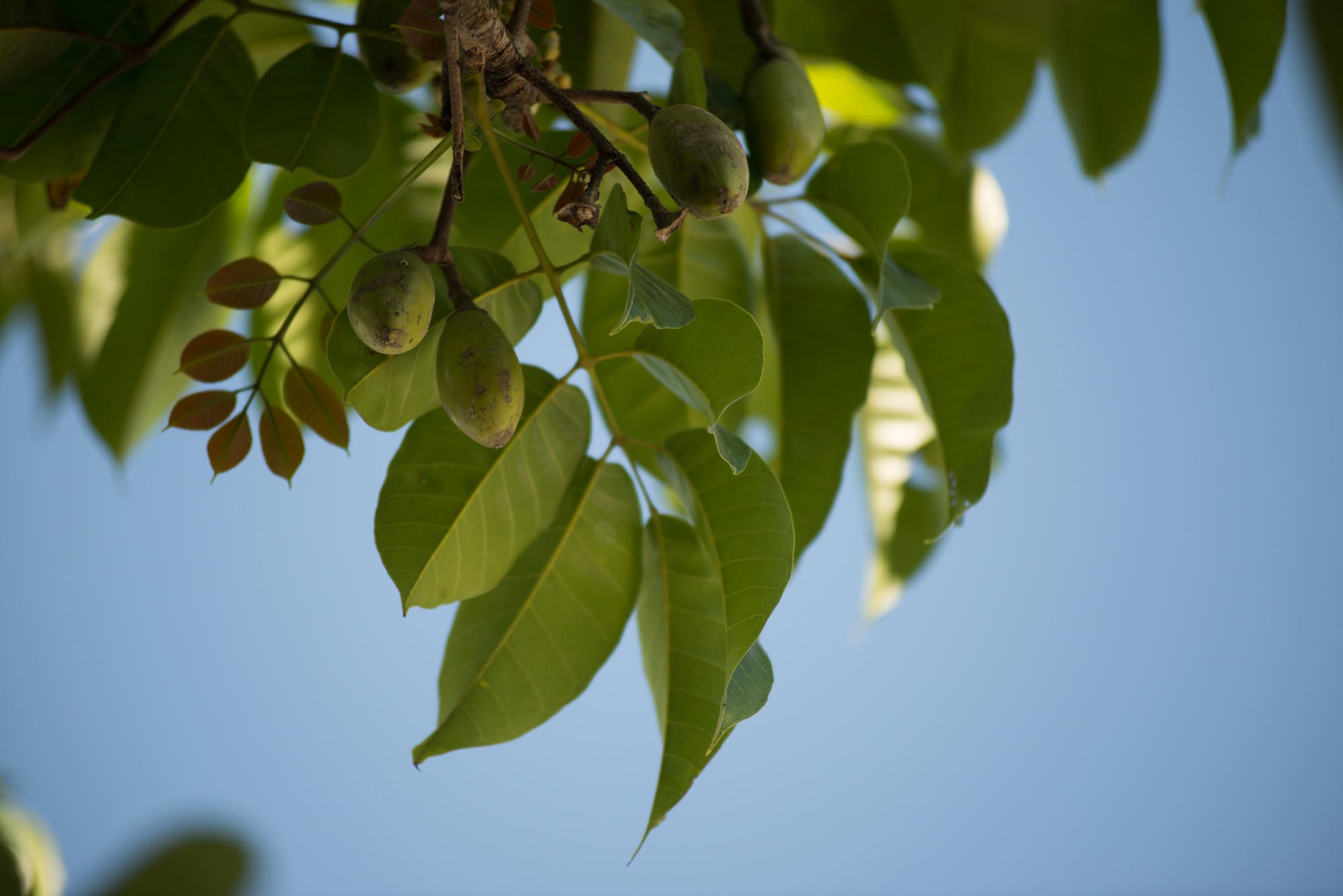 Growing pili nuts///Culture des fruits du pili
