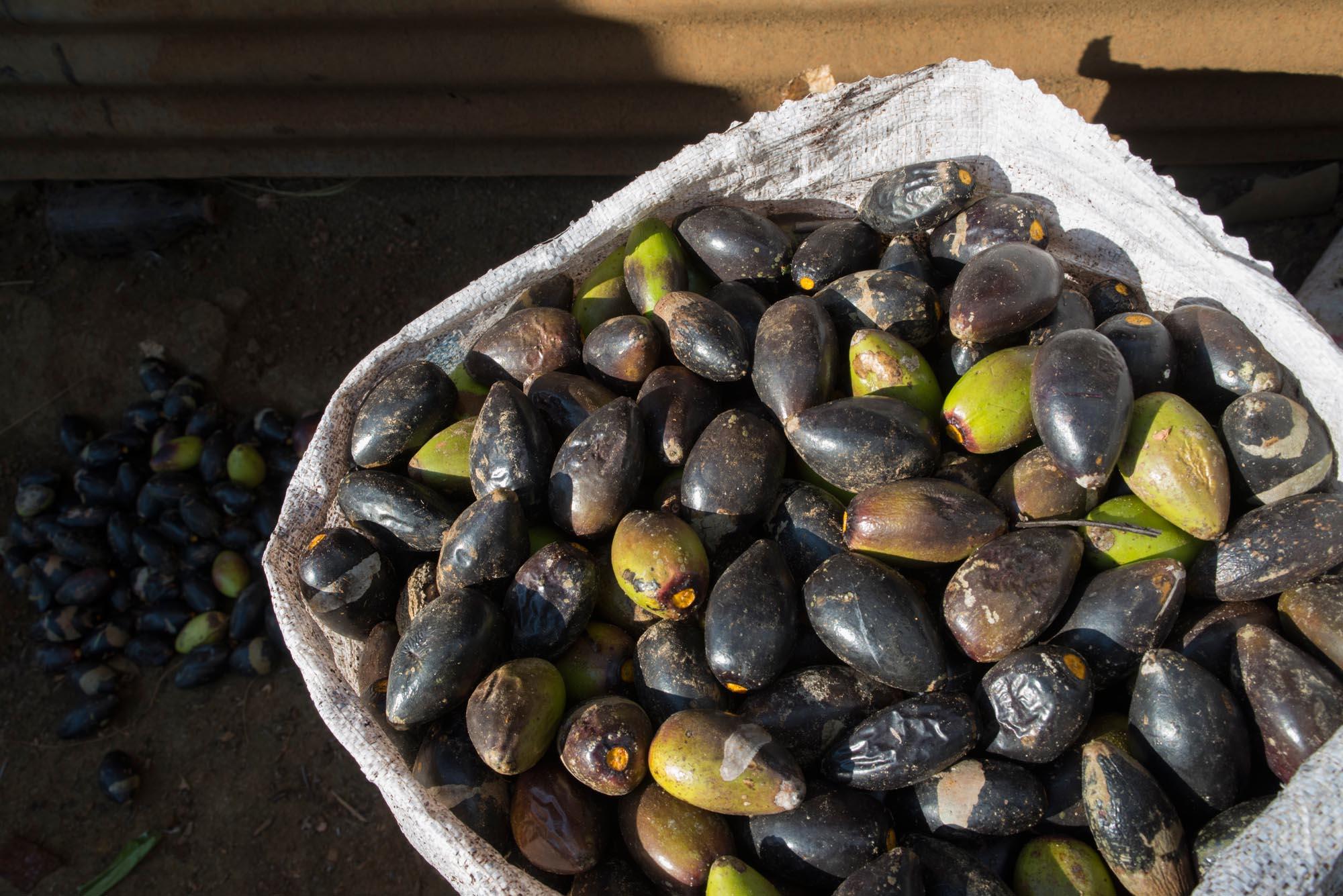 Green pilis///Fruits du pili verts Green pilis