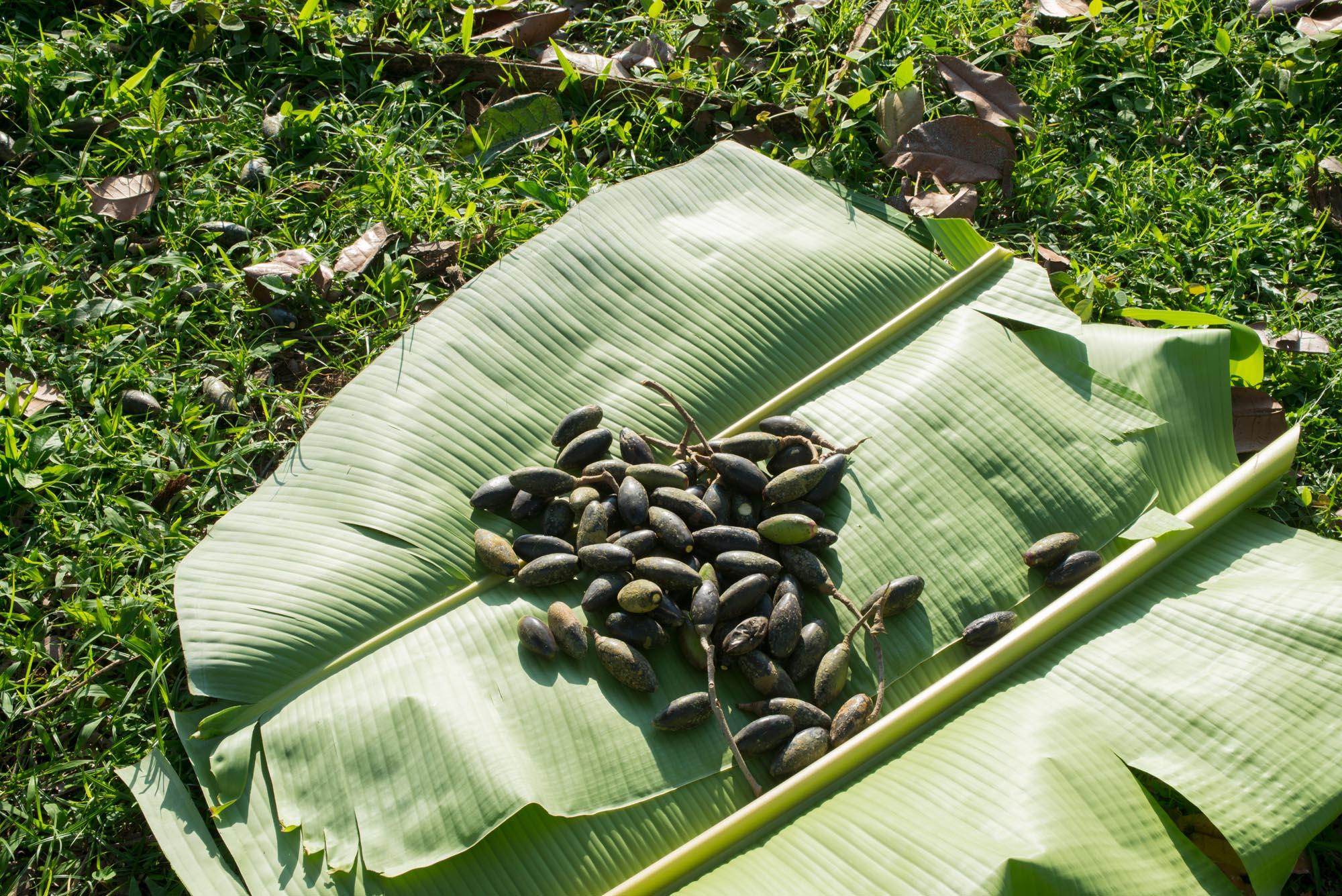 Fresh pilis///Fruits du pili fraîchement cueillis