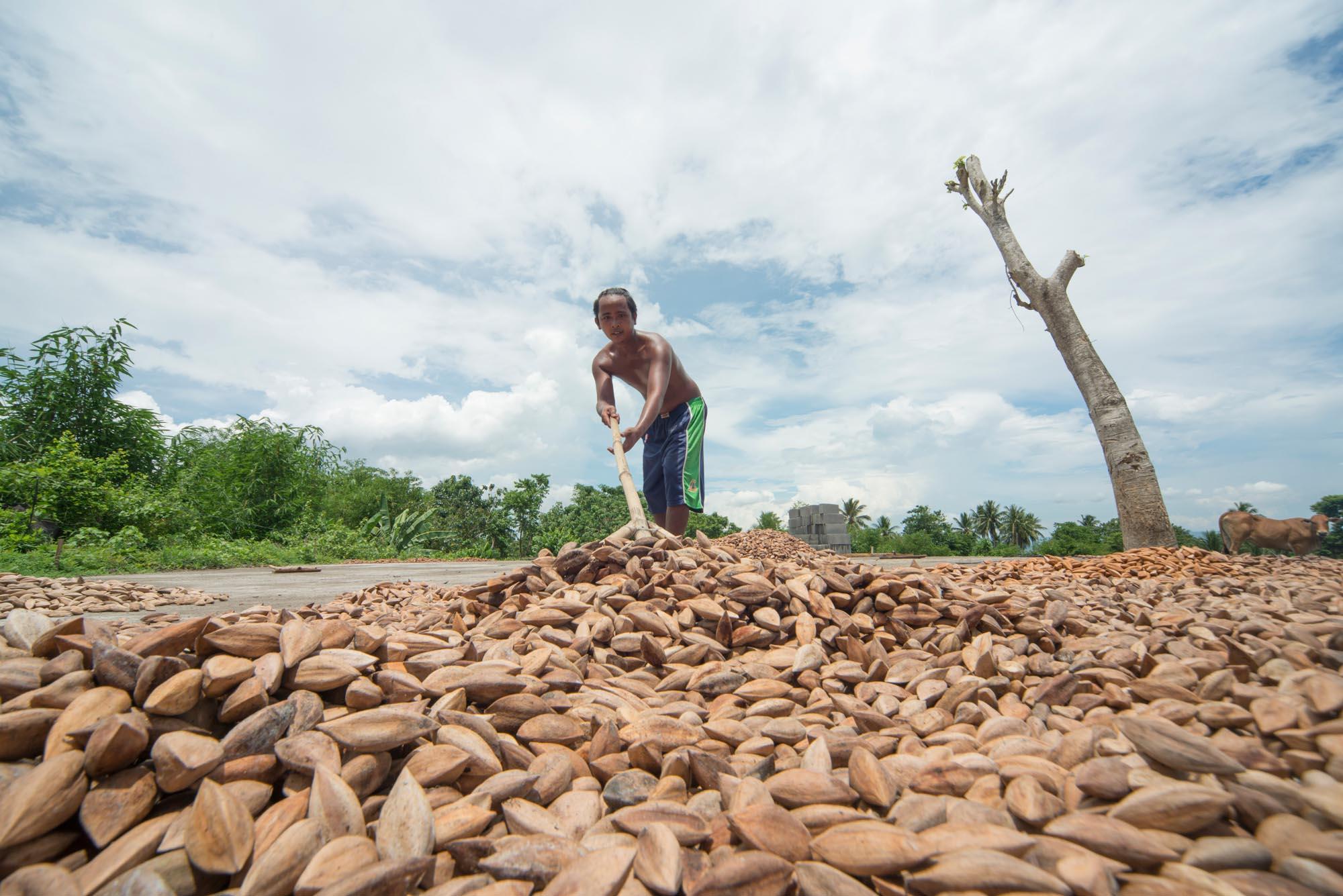 Spreading Mount Mayon Organic Pili Nuts///Étalement des noix de pili du Mont Mayon issues de l'agriculture biologique