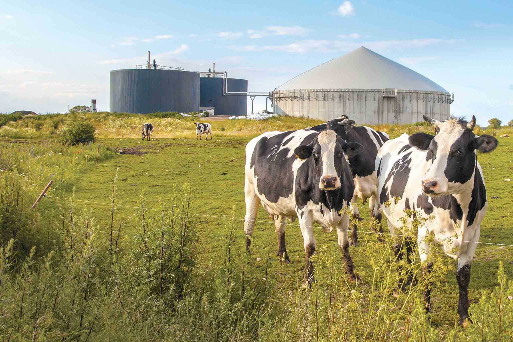 AD Cows.jpg