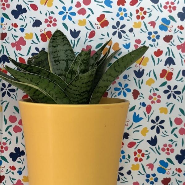 snake plant 2.jpeg