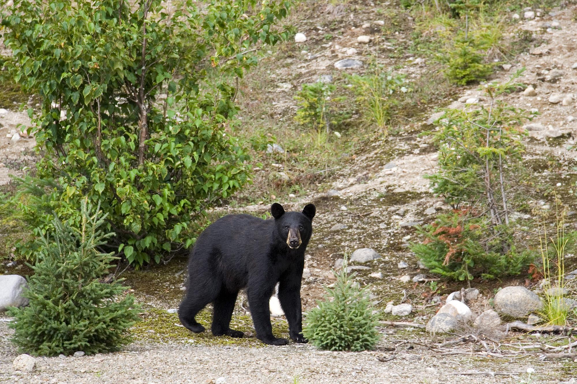 NPS Black Bear.jpg