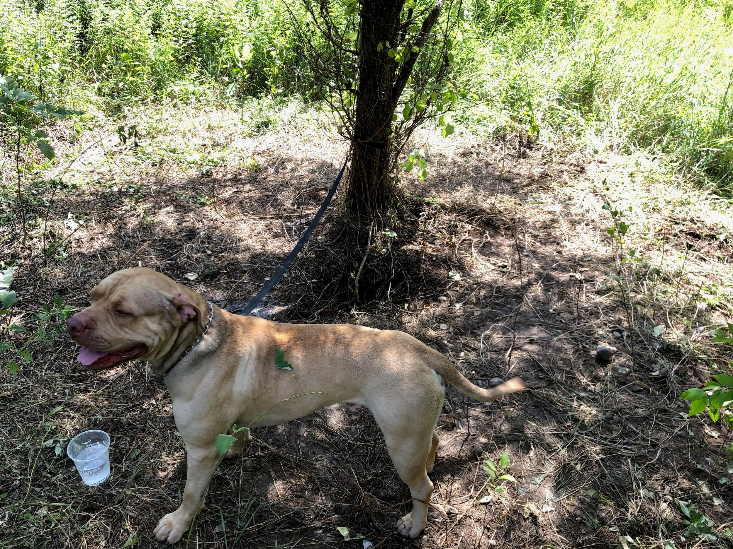 NYS DOT workers were getting ready to mow when they heard a dog barking in the woods. The dog was found tied to a tree off of Interstate 84 in the Town of East Fishkill. A reward is being offered for information leading to the arrest and conviction of those responsible for abandoning this animal.