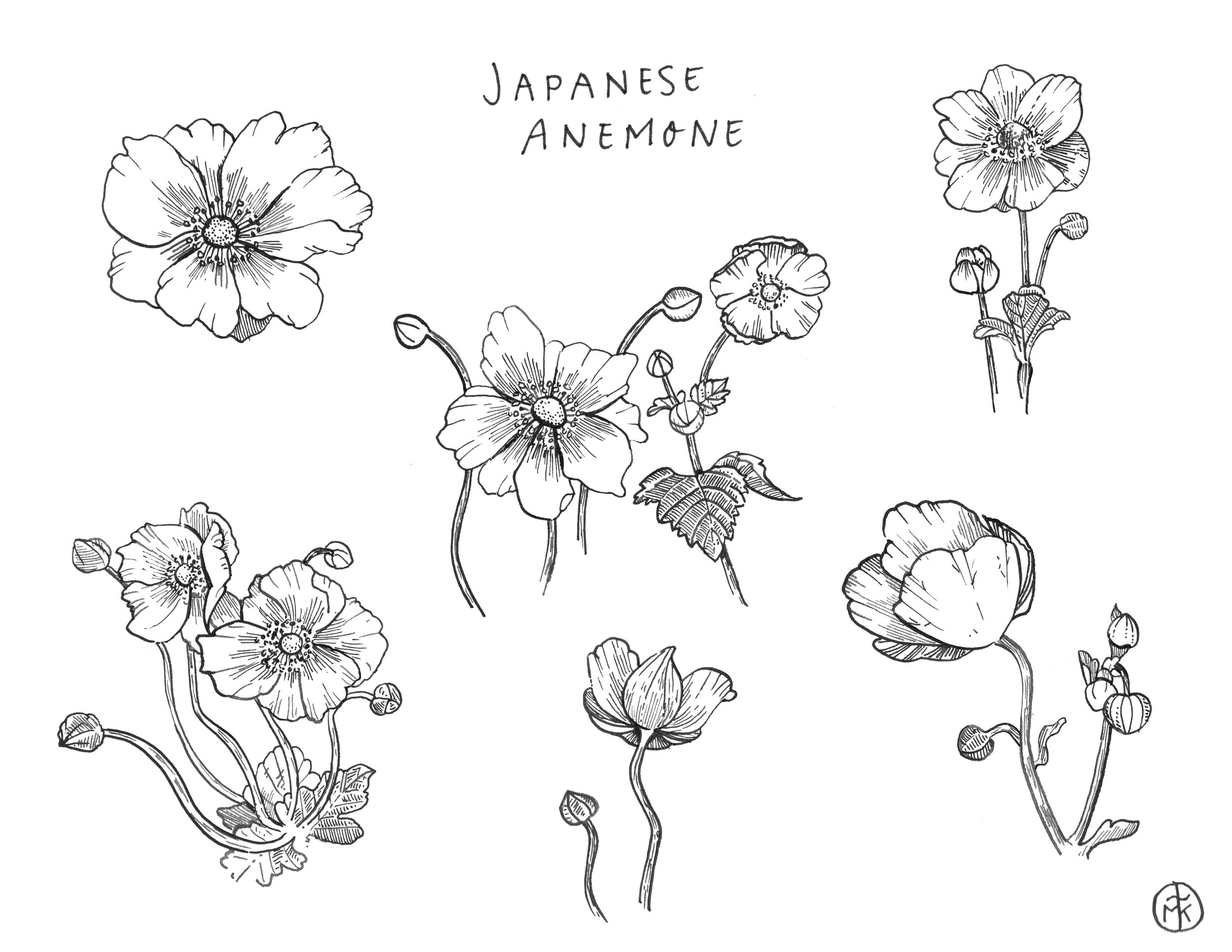 Japanese Anemone Sketches, prep for the #GlobalTalentSearch2018 hosted by Lilla Rogers