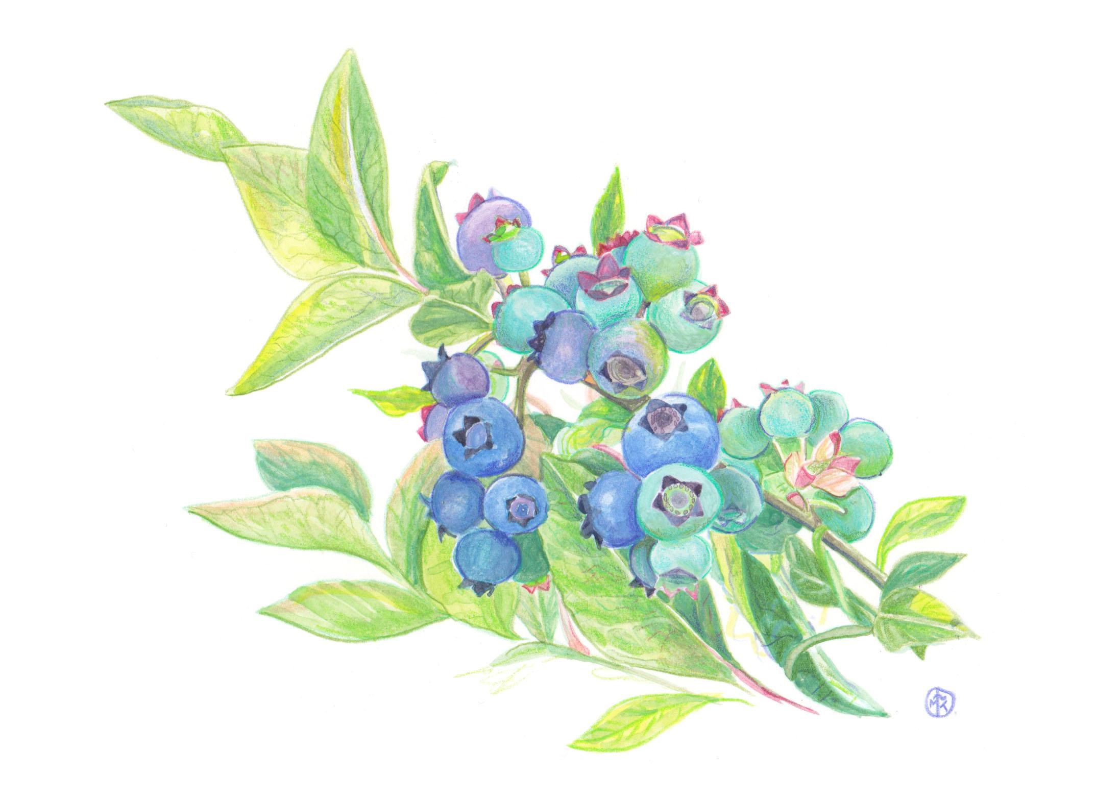 Blueberry - RBG.jpg