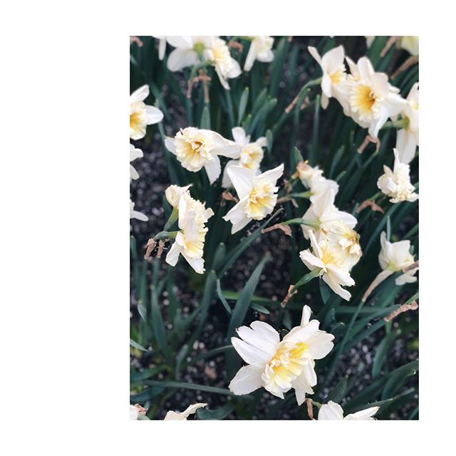 these are my favorite kind of daffodils - almost white petals  #dreams #spring #flowers