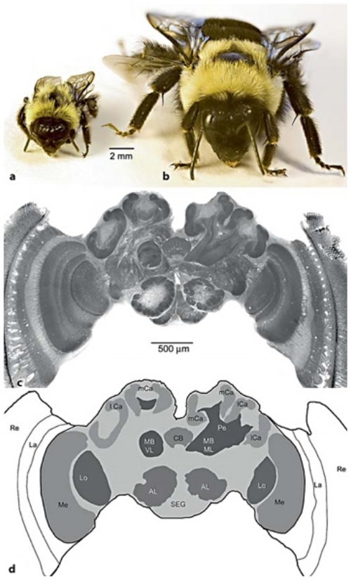 Dissecting the neuroanatomical roots of pollinator foraging behavior -  bees often vary in several important attributes of foraging behavior; including the number and identity of plant species they tend to visit, as well as  how  they visit them. The extent to which bees vary in these traits consistently and strongly differs between closely-related species. We are exploring the cognitive and neuroanatomical basis of variation in pollinator behavior and determine the degree to which individuals, populations, and species vary in these features. (figure modified from Riveros and Gronenberg, 2010)