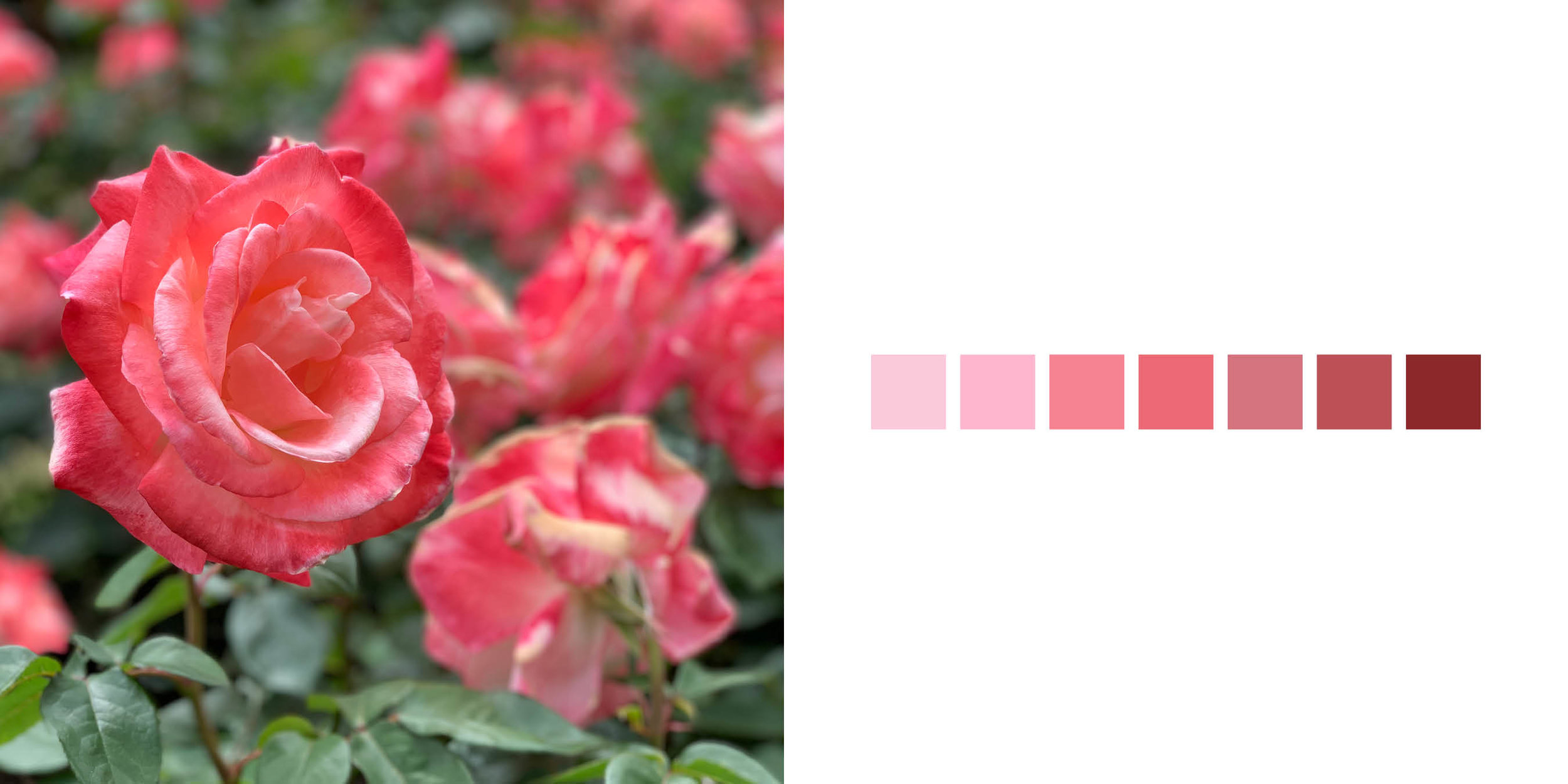 The Rose Book7.jpg