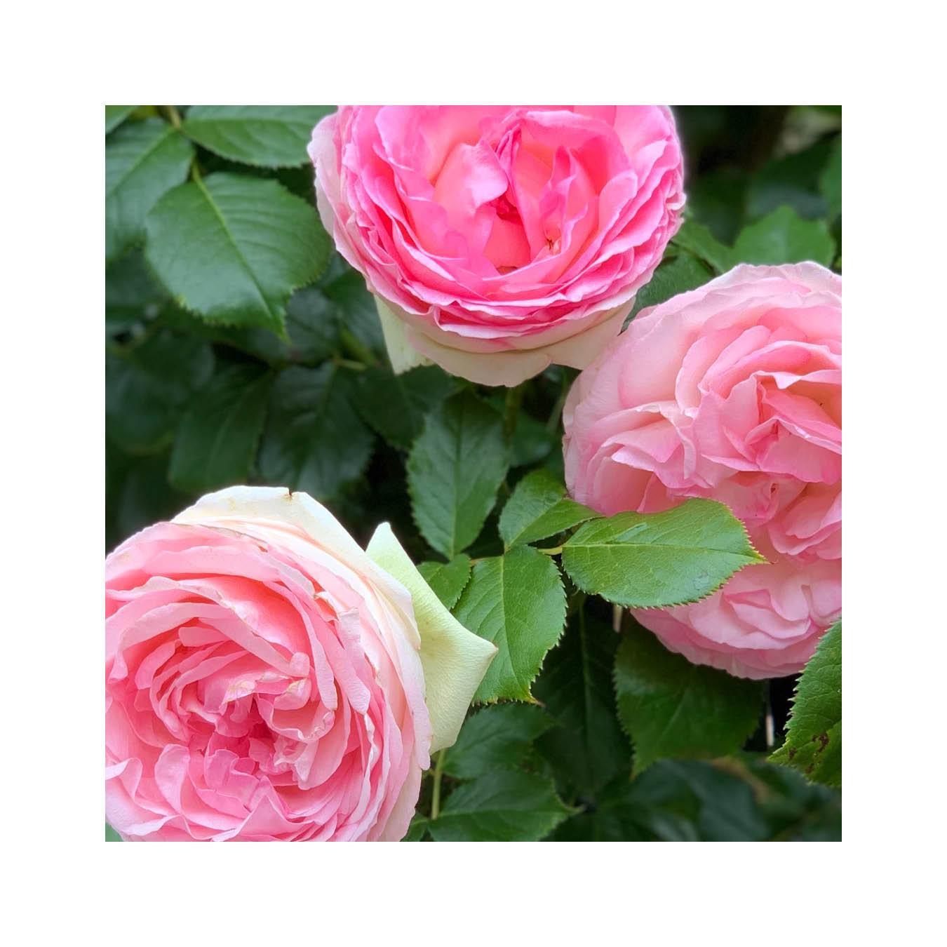 The Rose Book21.jpg