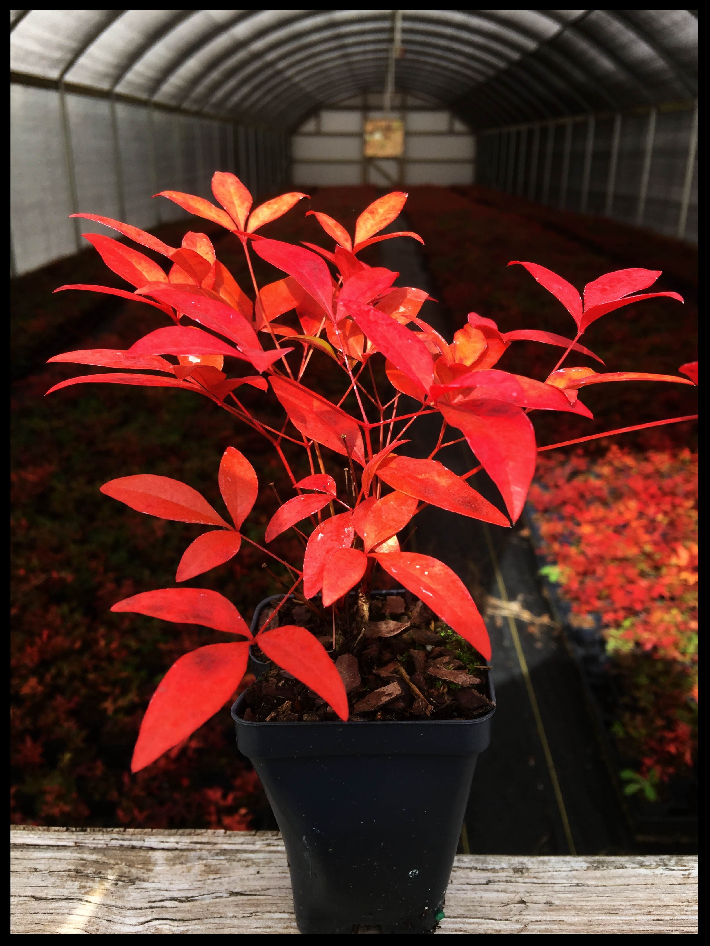 "Nandina Domestica 'Heavenly Bamboo' 2.5"" pot"