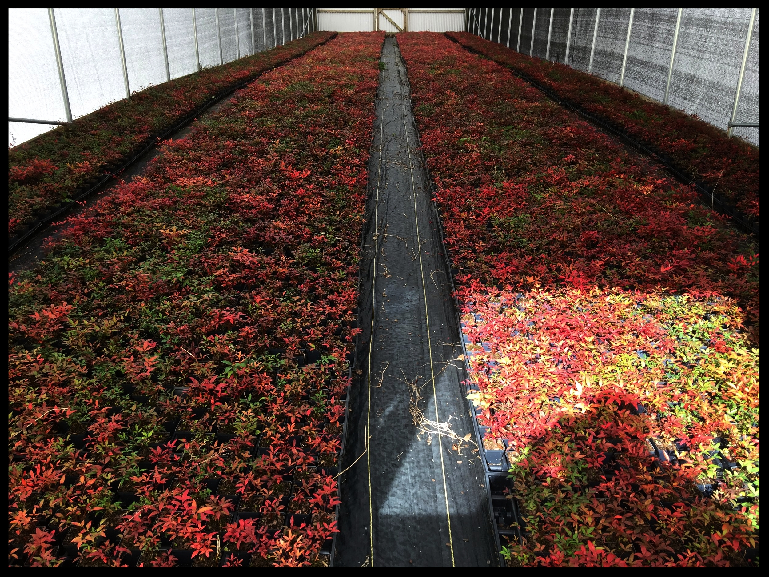 "Greenhouse Beds of Nandina Domestica 'Heavenly Bamboo' 2.5"" pot"