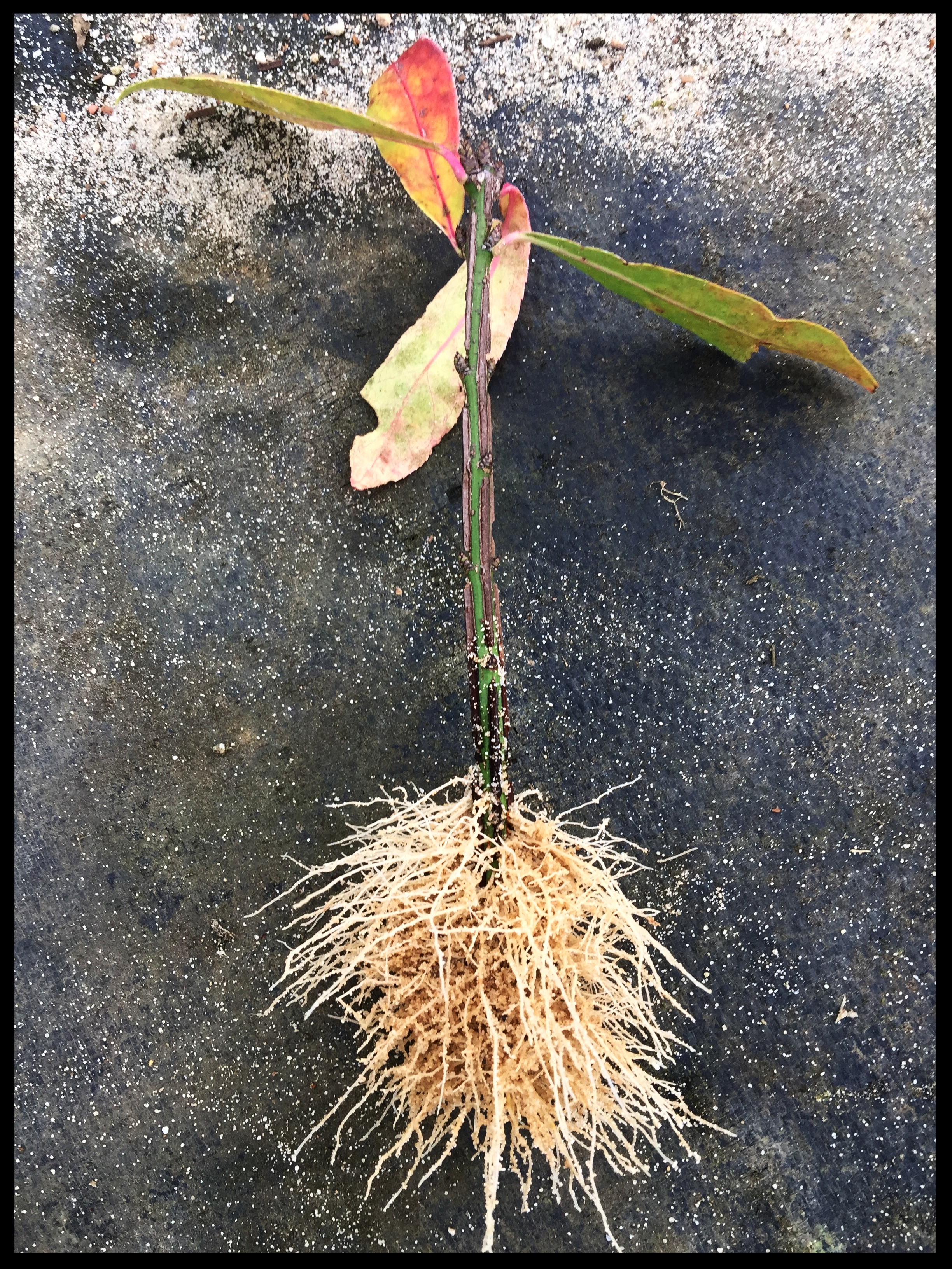 Dwarf Burning Bush Healthy Root System. Sand bed grown and shipped bare root.