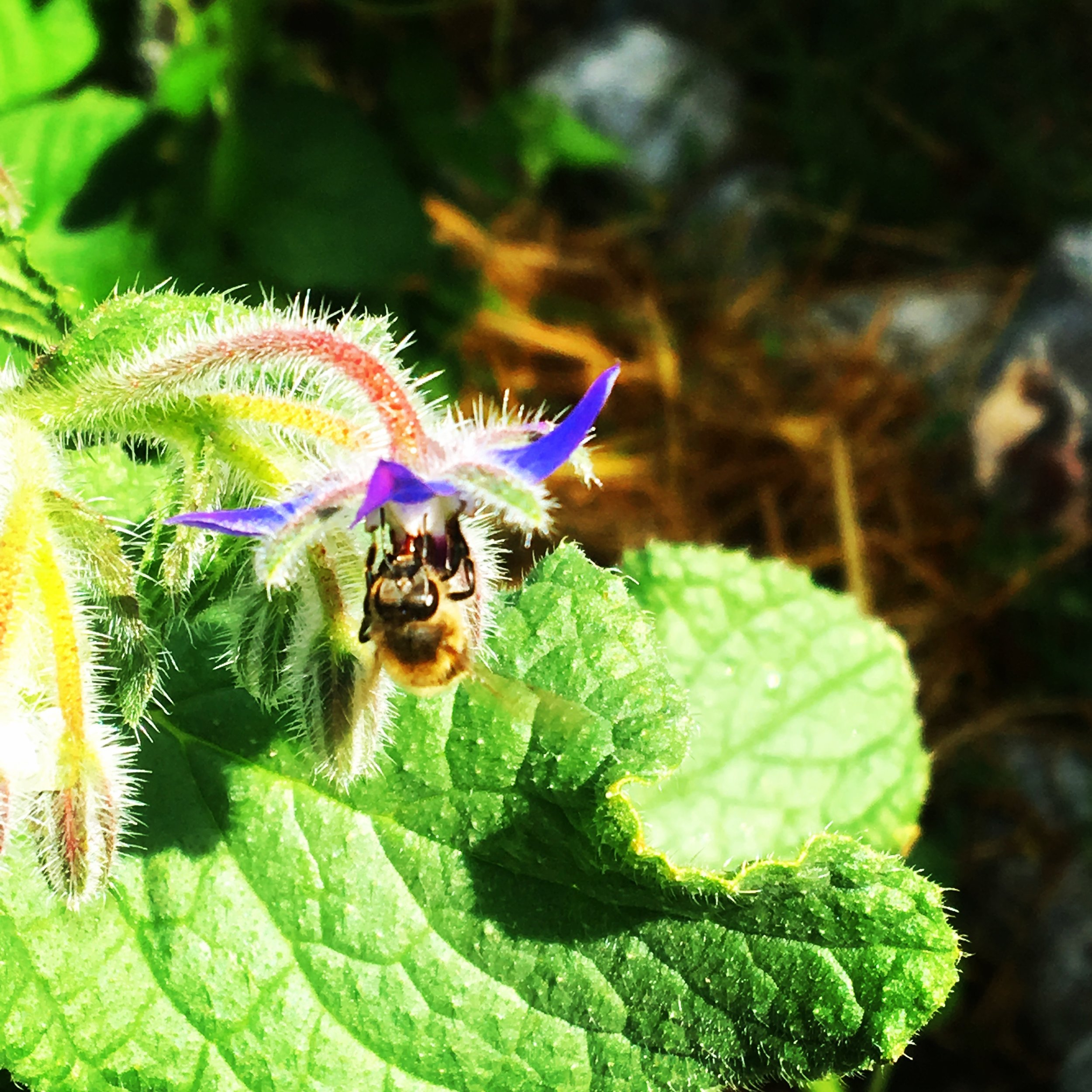 organic bee vegetable garden.jpg