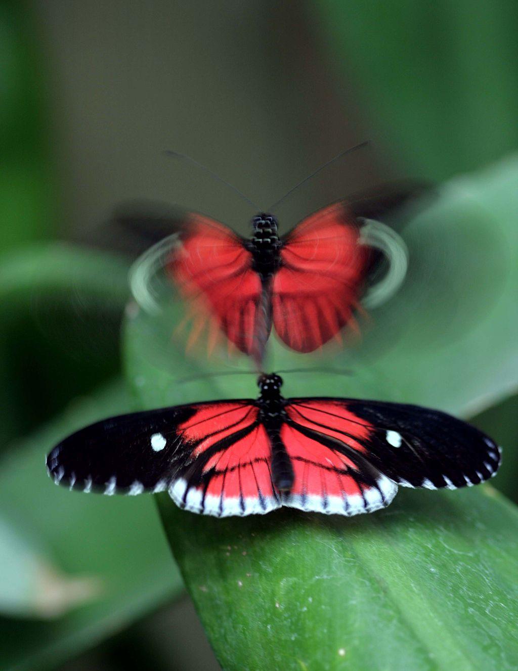 Butterflies_seduction_Toni
