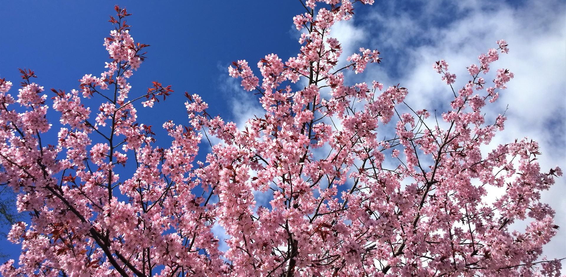 new banner - cherry blossoms.jpg