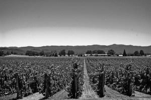 800px-robert_young_vineyards.jpg