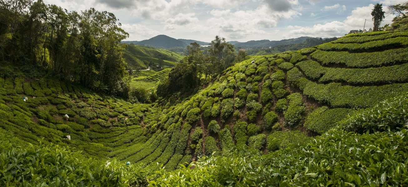 tea-plantation-1698535_1920.jpg