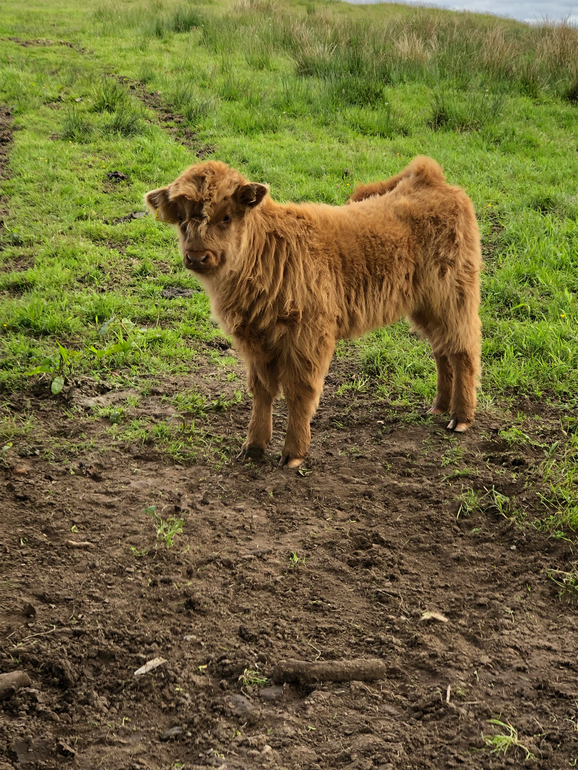 "In Scotland they have these adorable cows called Highland Cows (pronounced ""coo"")!"