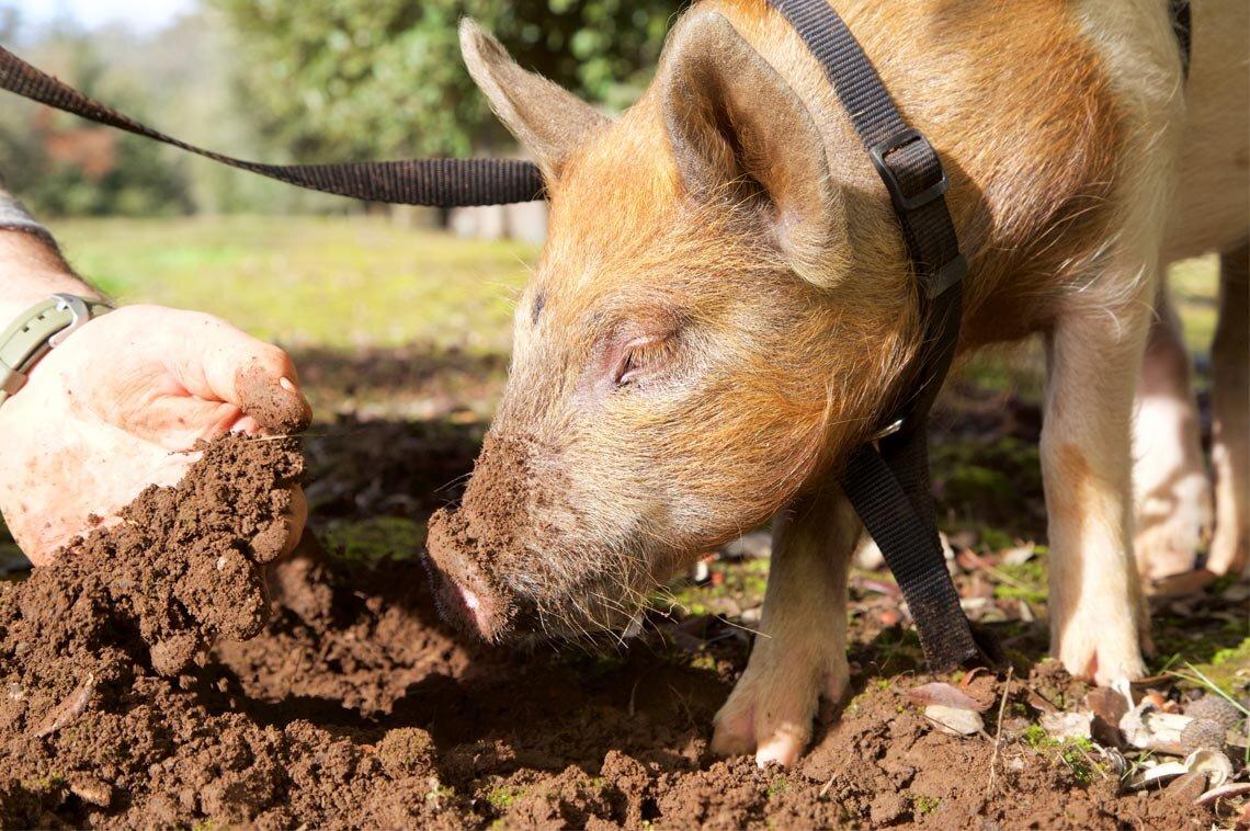 Stonebarn Truffle Farm pig.jpg