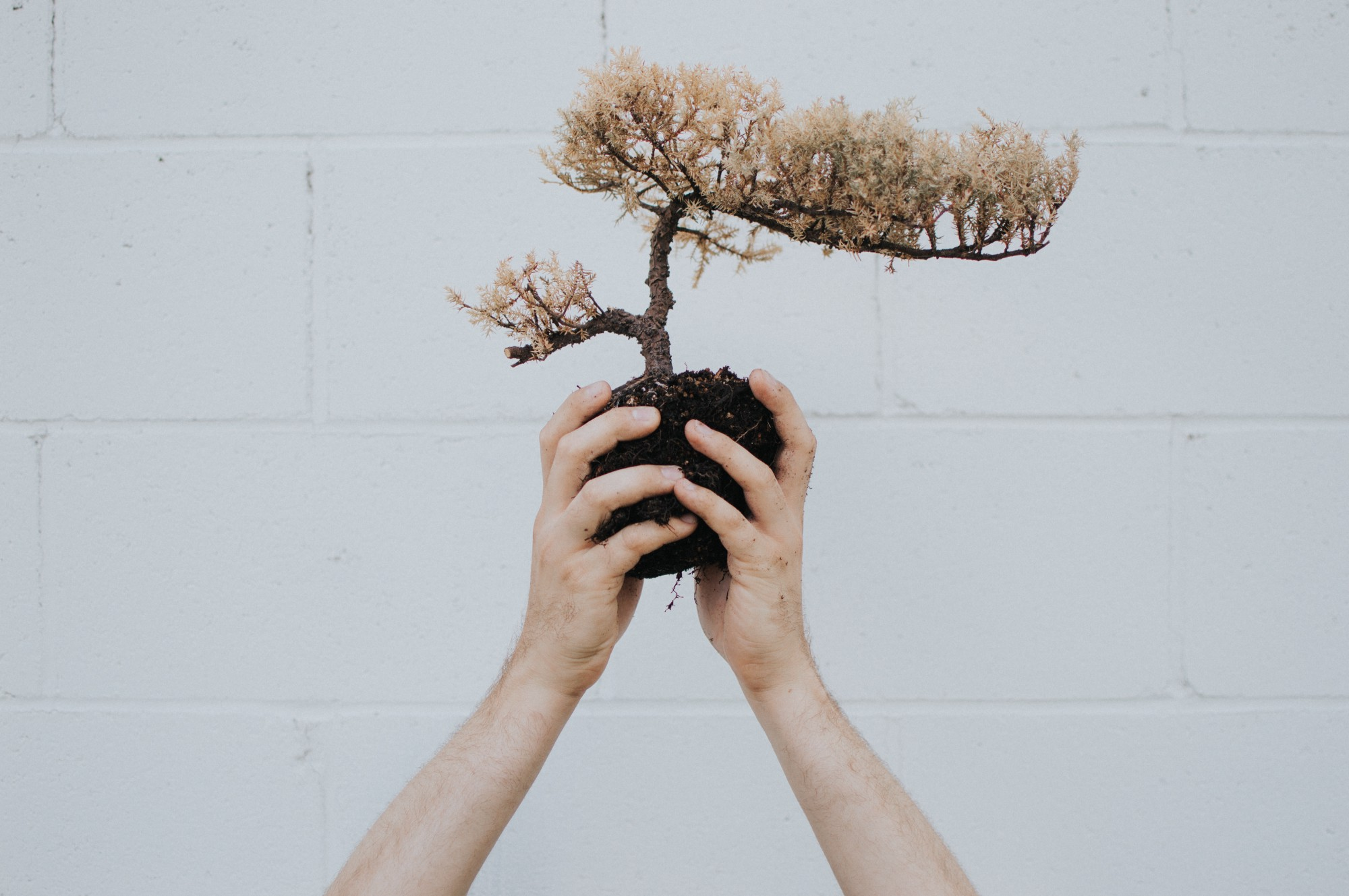 a man's hands holding the roots of a small bonsai tree