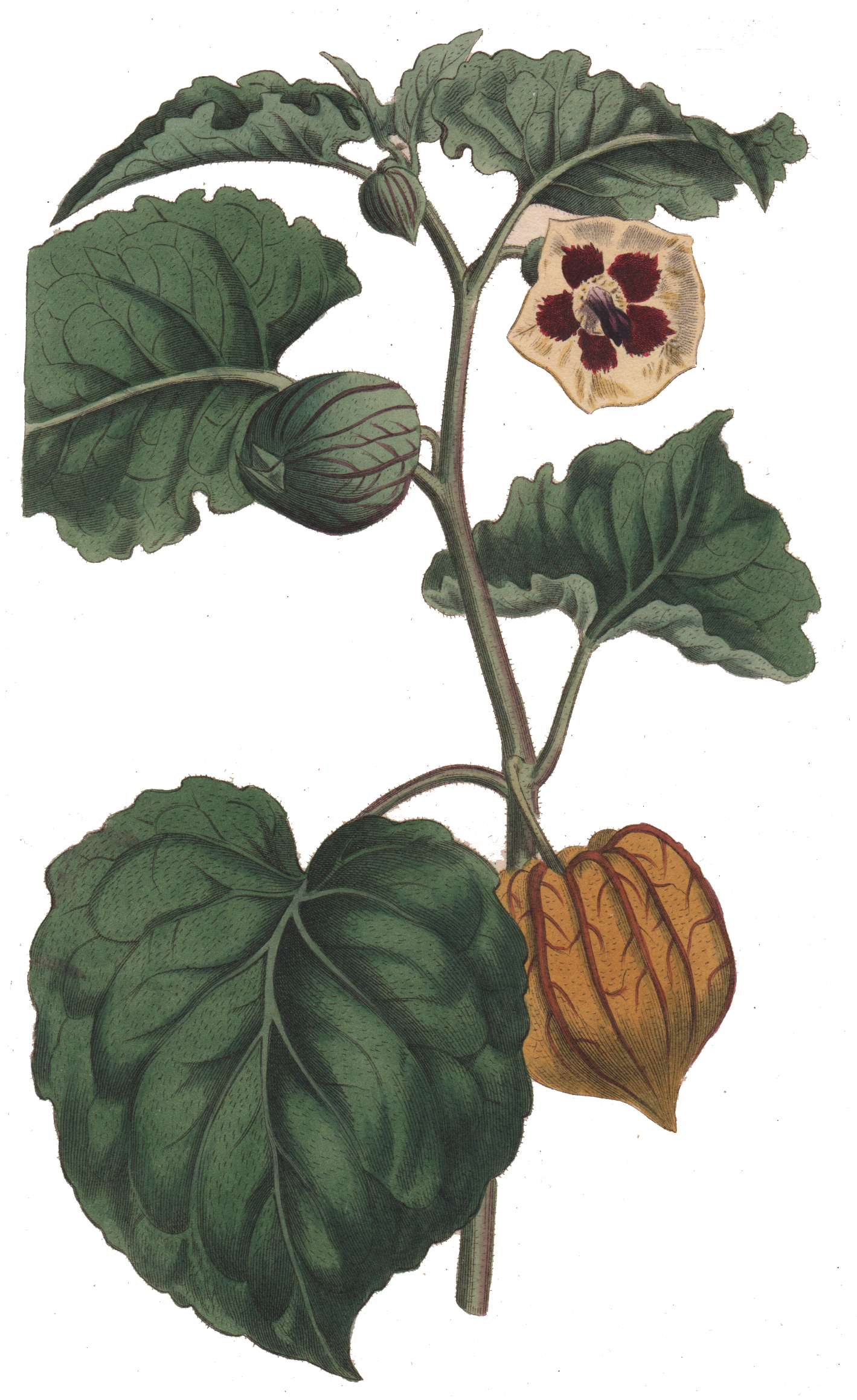 Wm Curtis's Botanical Magazine