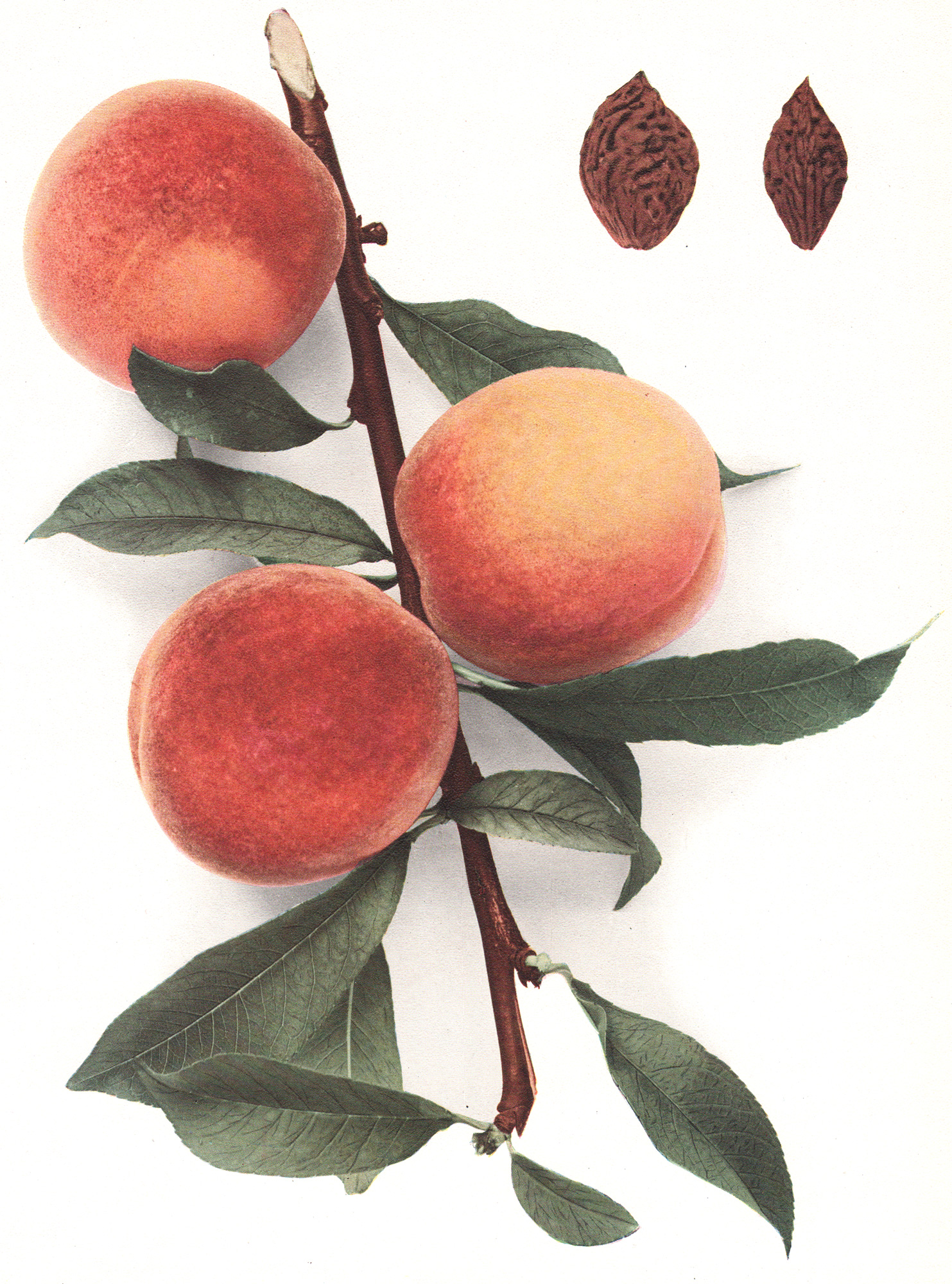 Hedrick, U.P. – The Peaches of New York