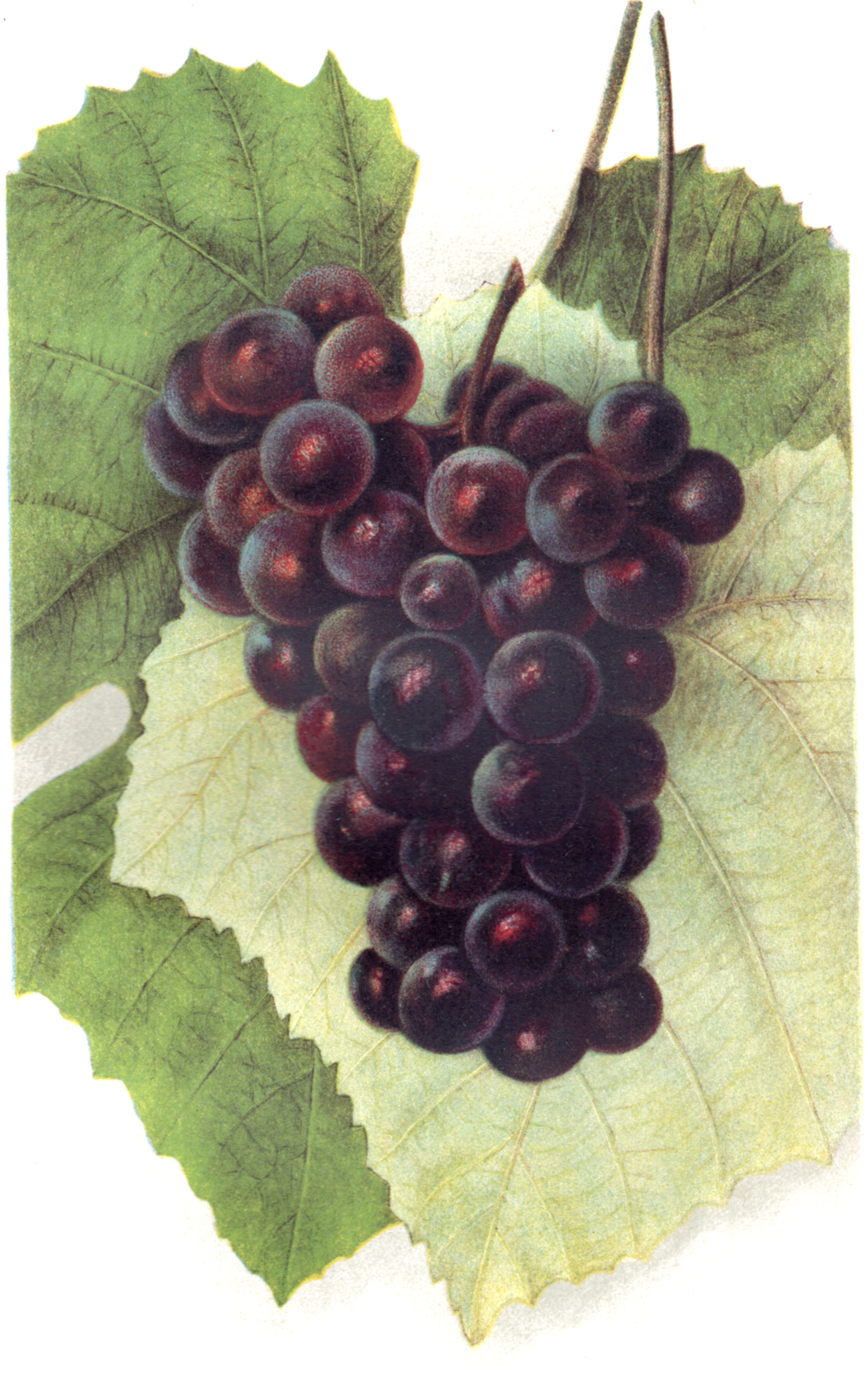 U.S. Dept. of Ag. – 1903 Fruit