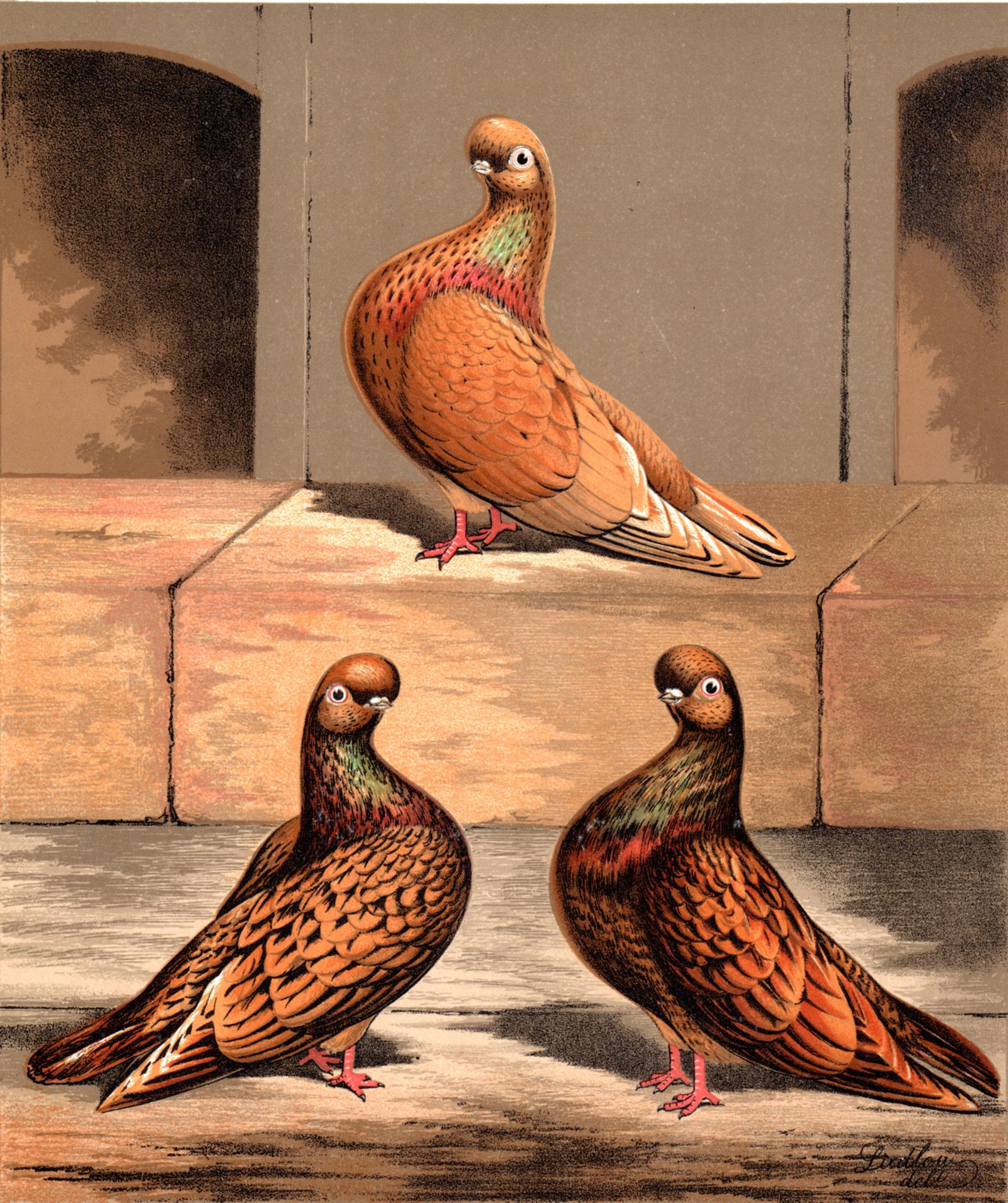 Cassell's Pigeons