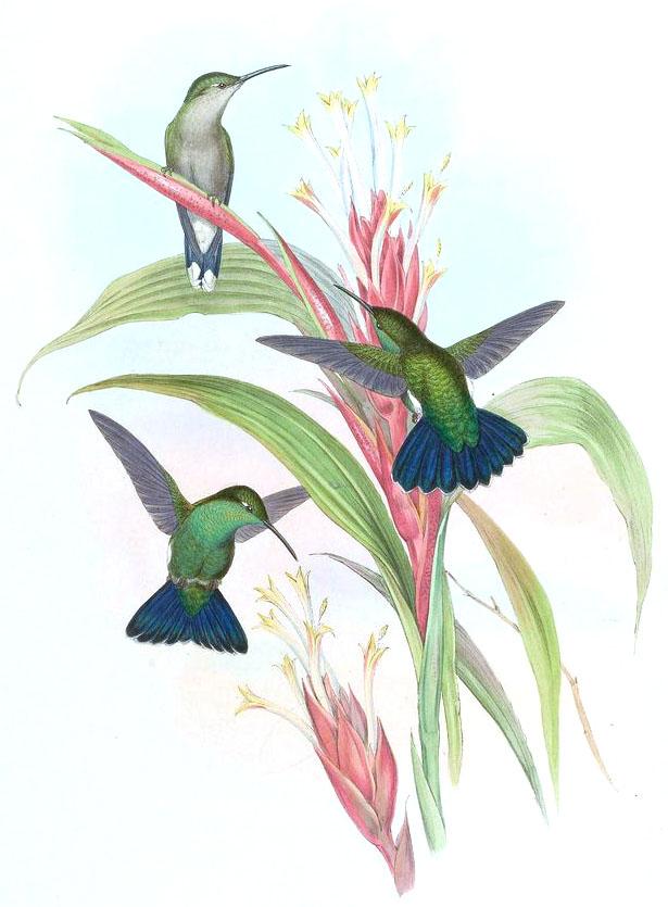 Gould, John – 1849 Hummingbirds