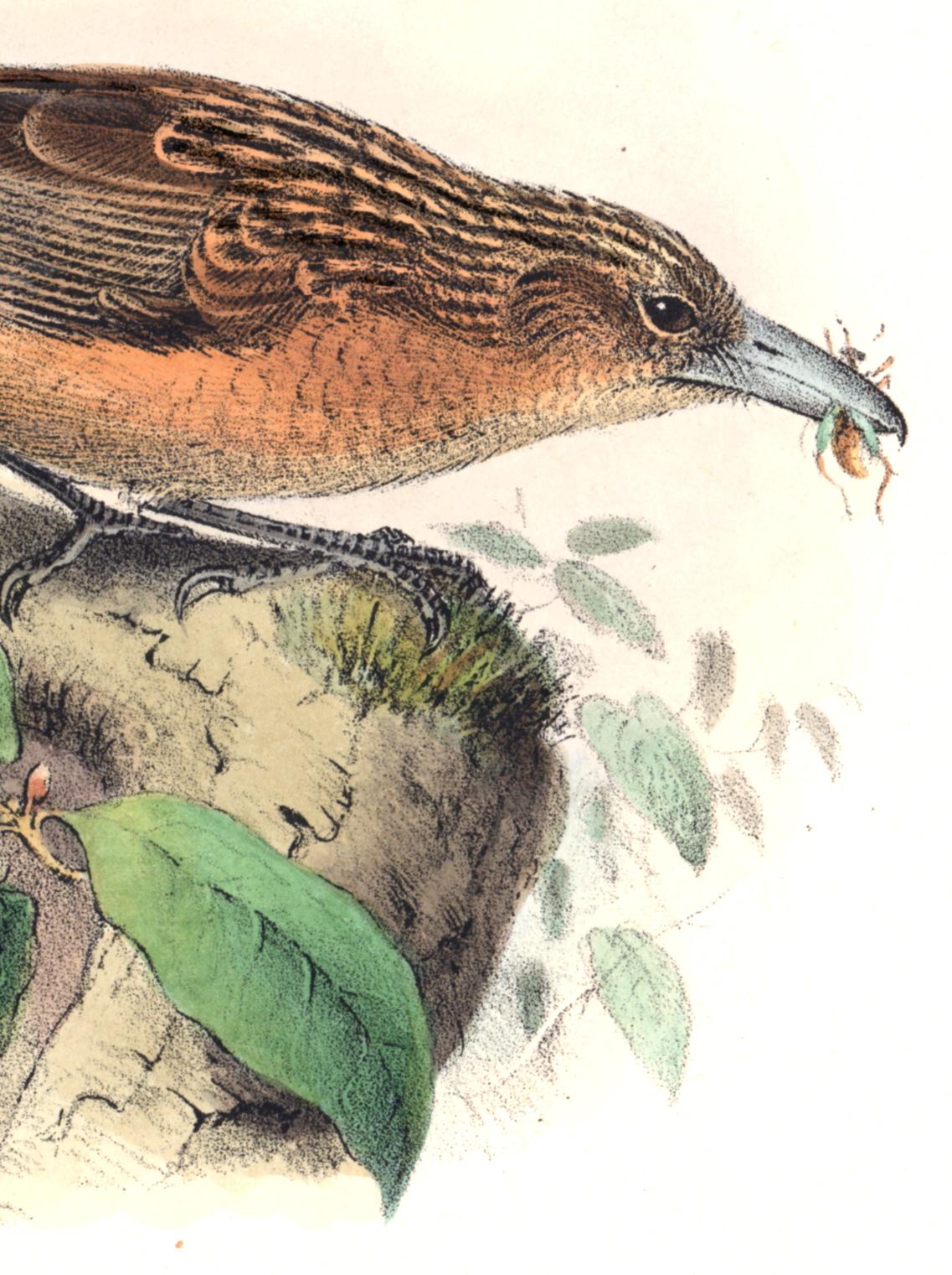Groenvold Birds of Australia