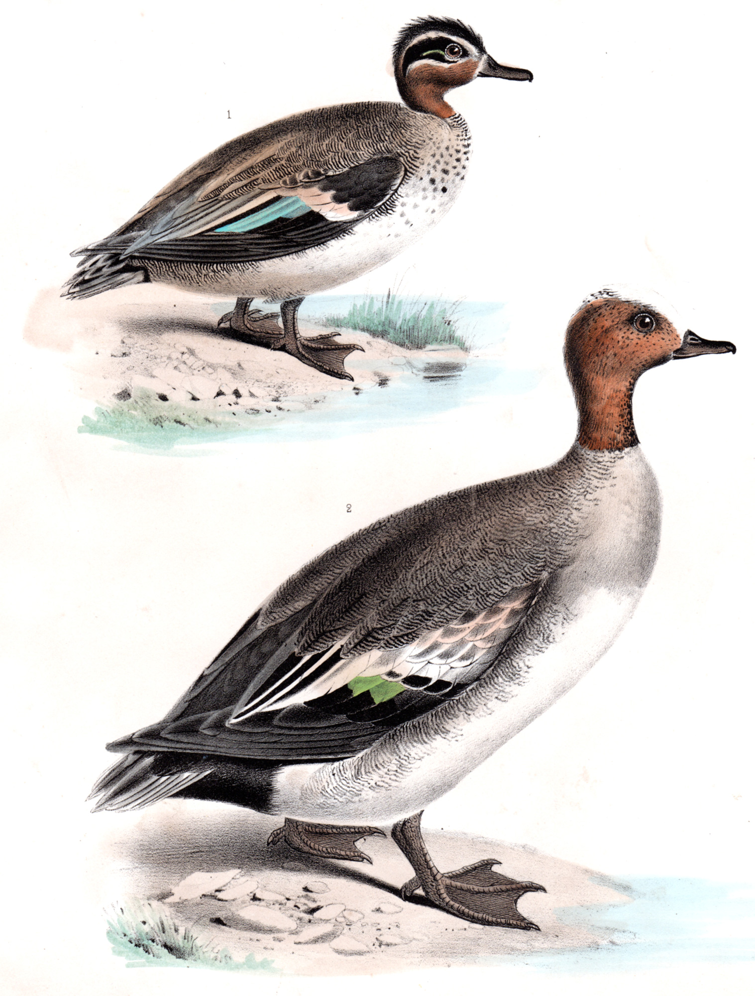 The Birds of North America – 1860