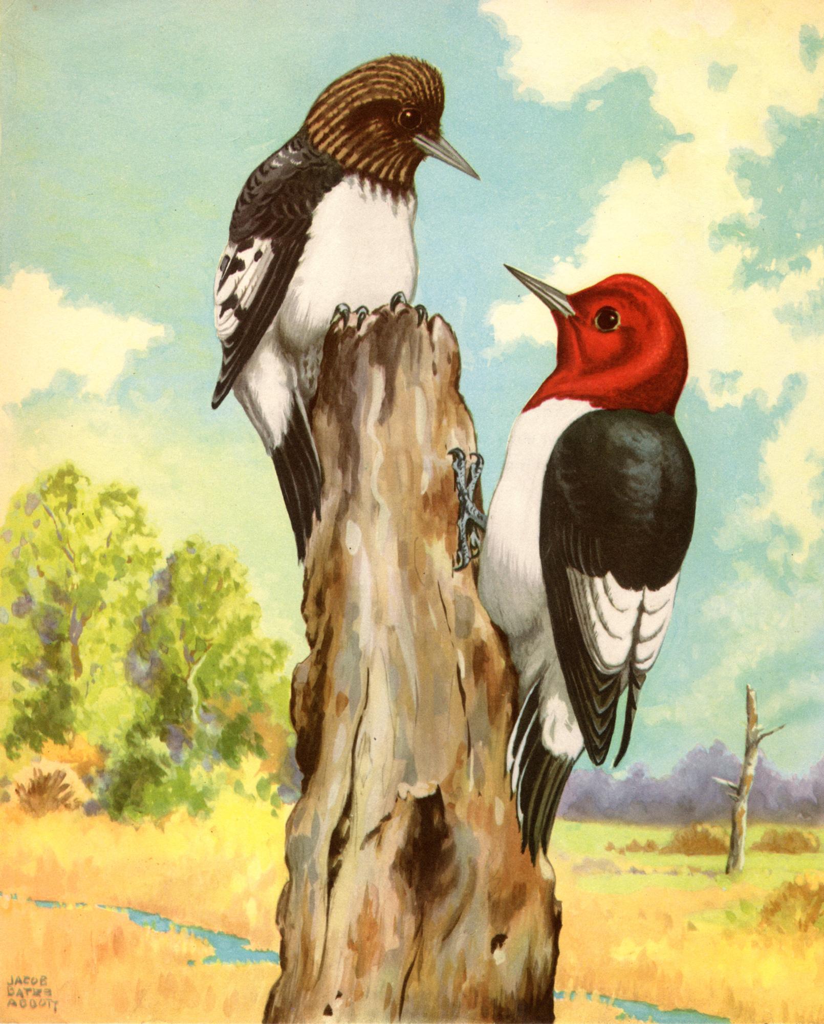 Jacob Bates Abbott vintage bird illustrations