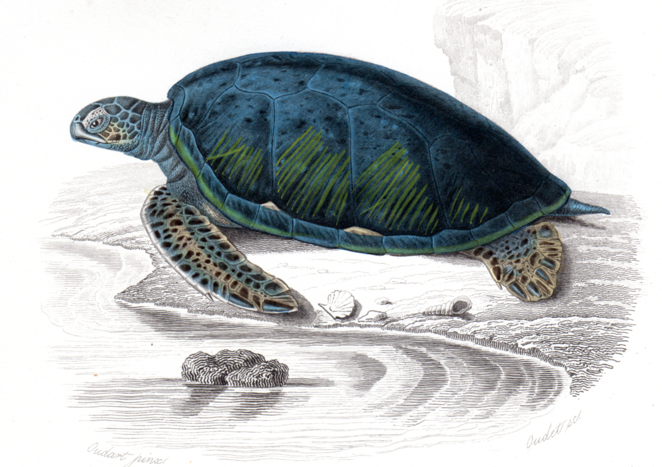 d'Orbigny, Charles –Reptiles, Snakes, etc.
