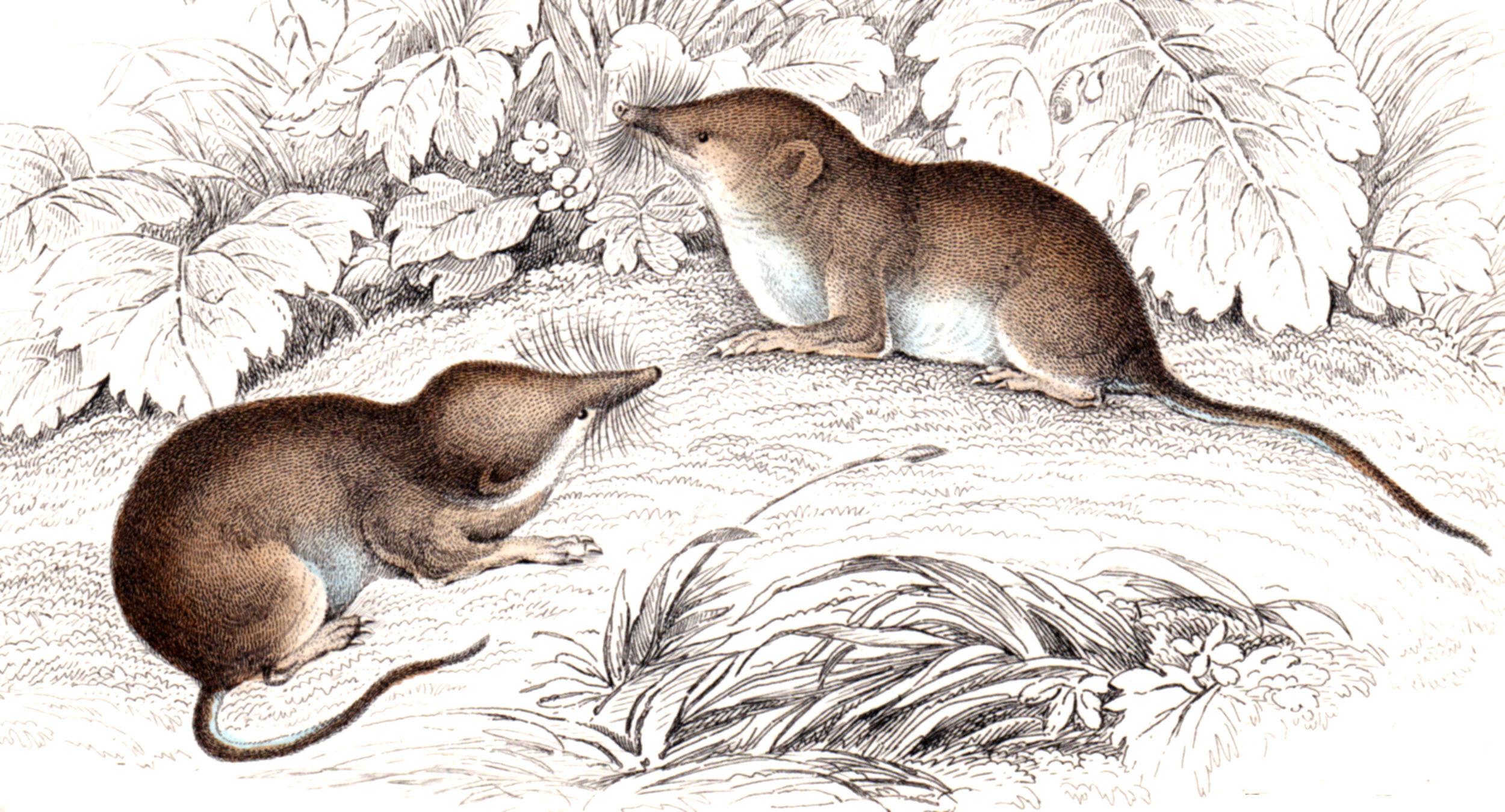 Jardine, Sir Wm / Lizars, Wm – Rodents