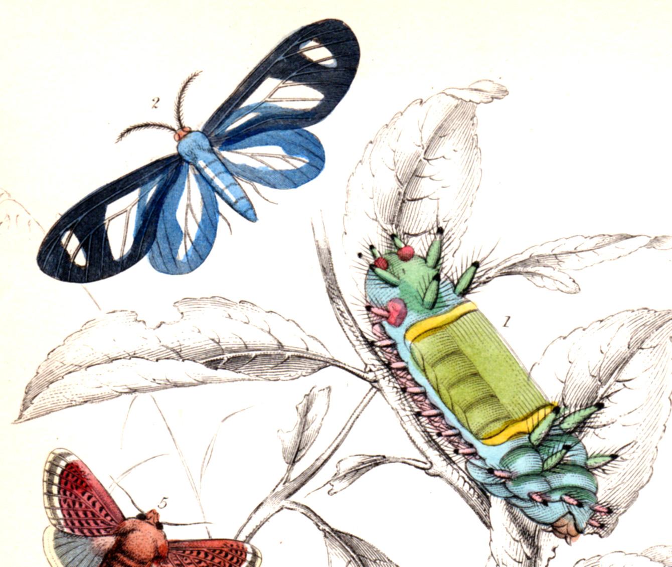 Jardine, Sir Wm / Lizars, Wm – Butterflies, caterpillars, etc.