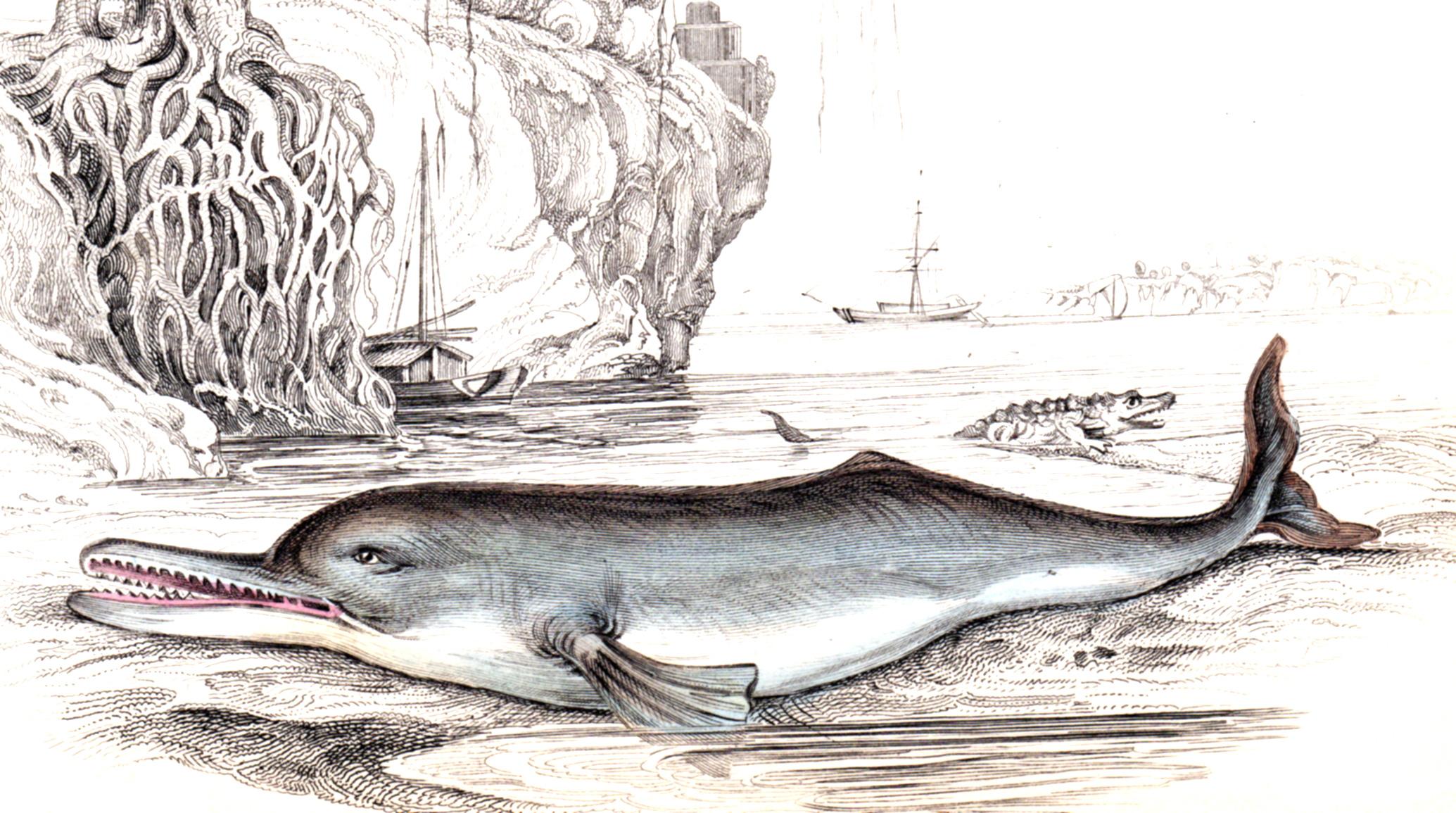 Jardine, Sir Wm / Lizars, Wm – Whales, Dolphins, Porpoises, etc.