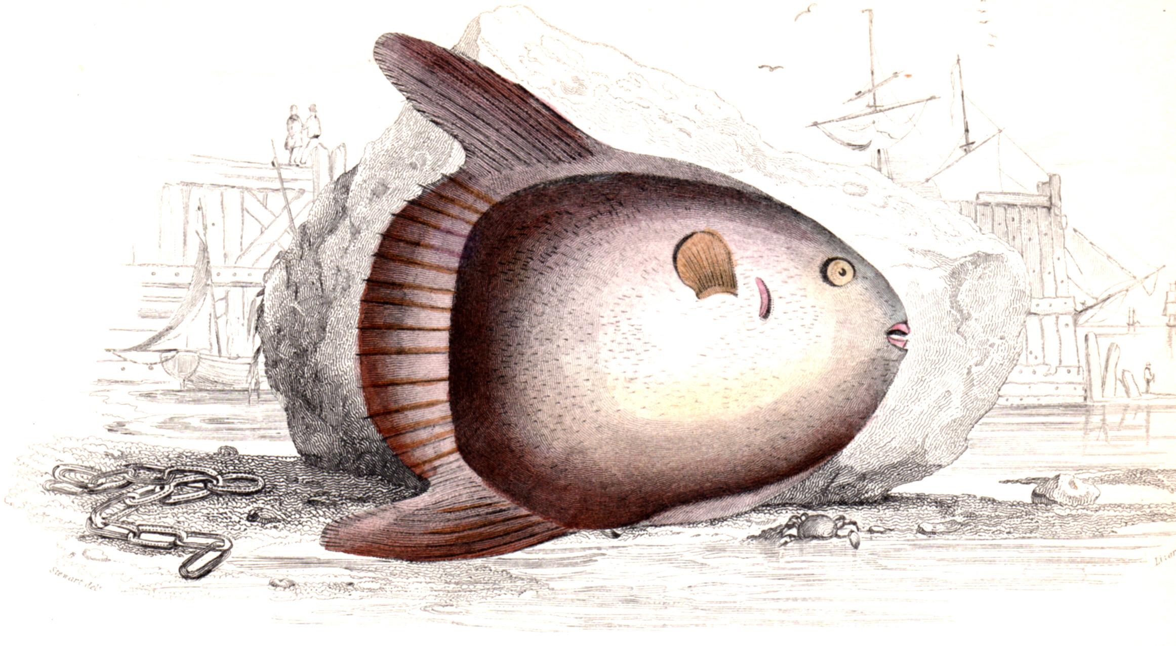 Jardine, Sir Wm / Lizars, Wm – Fish