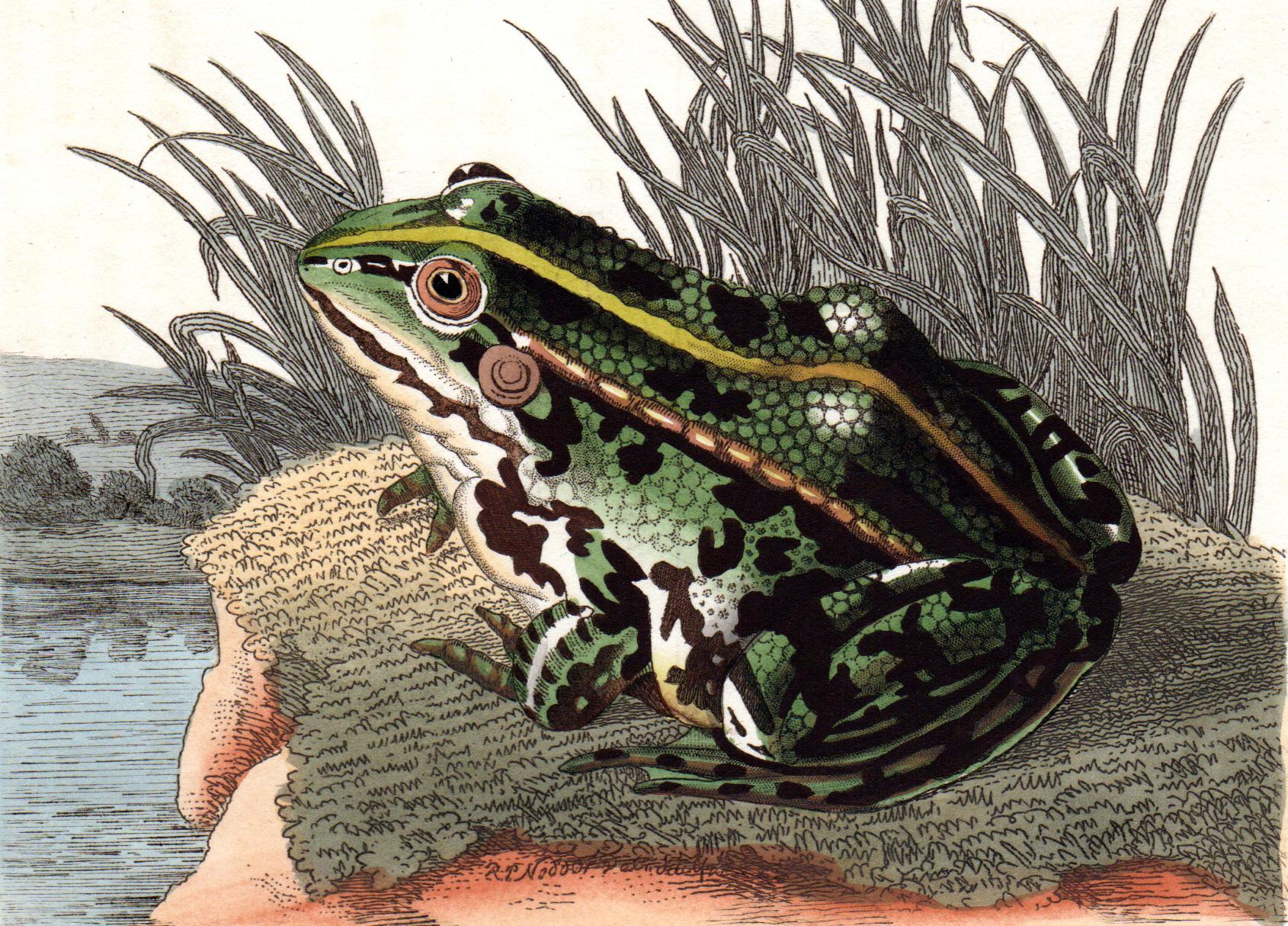 Shaw, George / Nodder, Frederick & Robert P. – Frogs, Turtles, Lizards, etc.