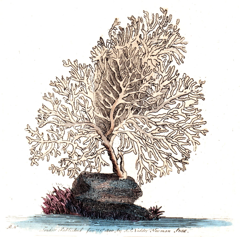 Shaw, George / Nodder, Frederick & Robert P. –Corals, Sponges, Anemones, etc.